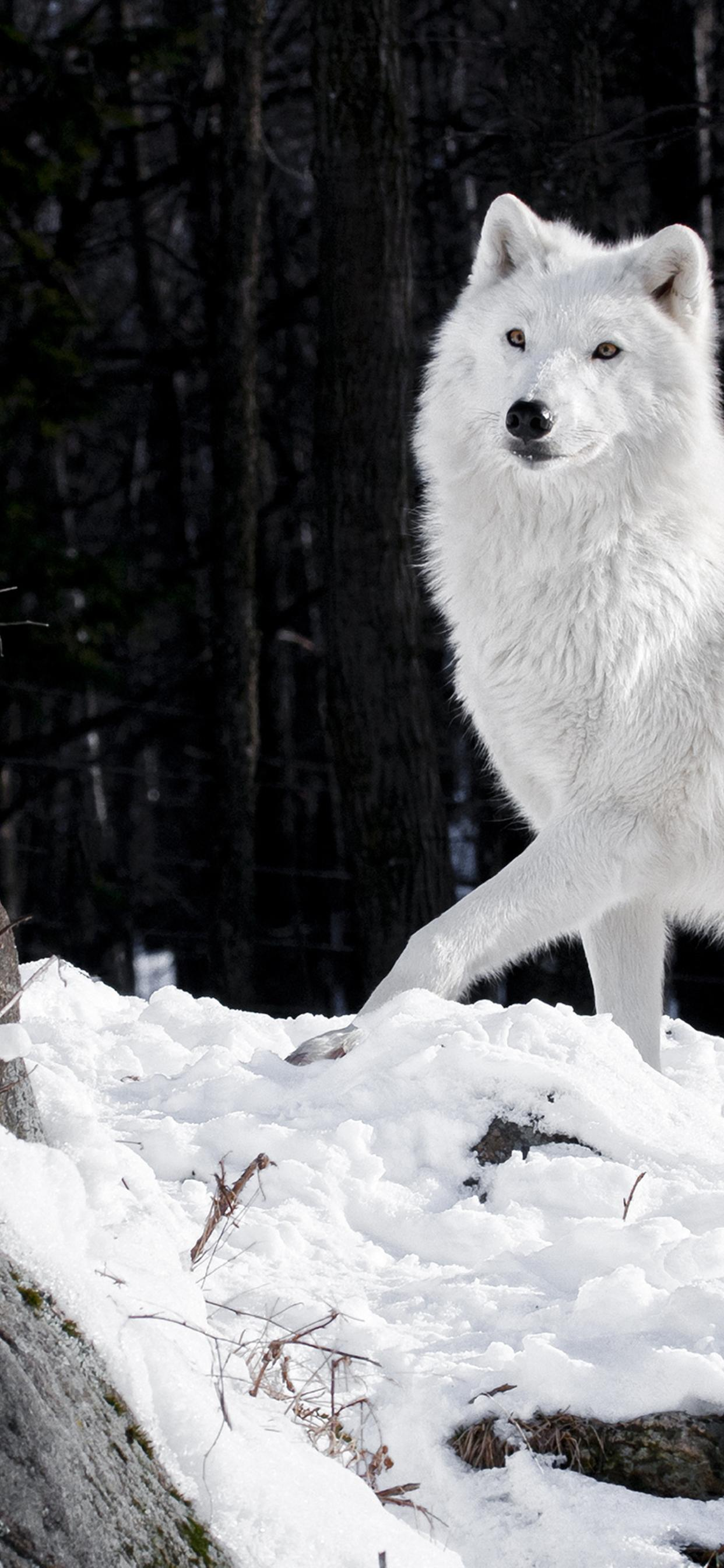 Wild White Wolf In The Forest Hd