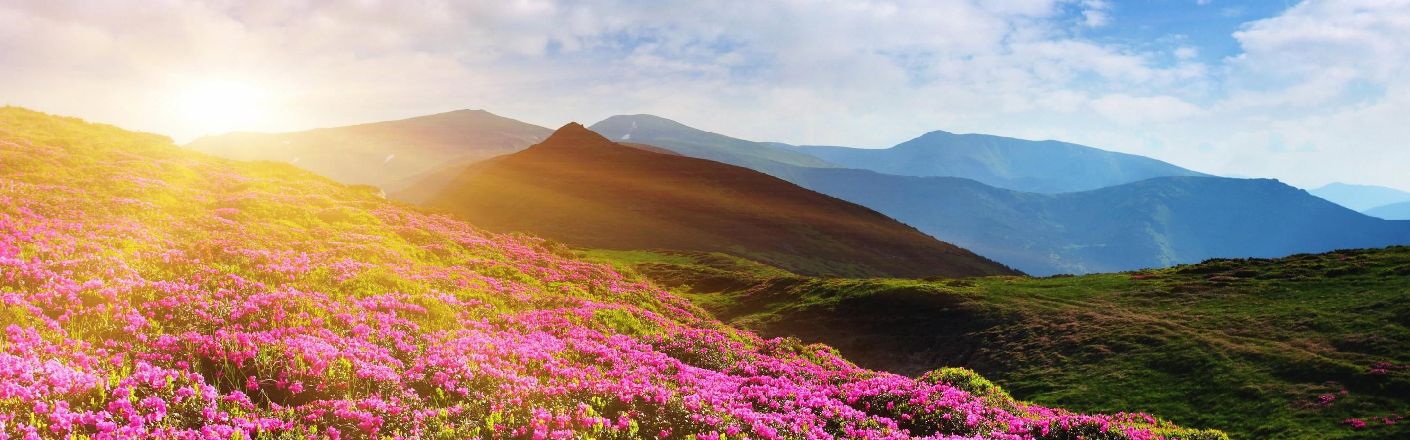 Beautiful Pink Rhododendron Flowers On The Mountain Sun Day