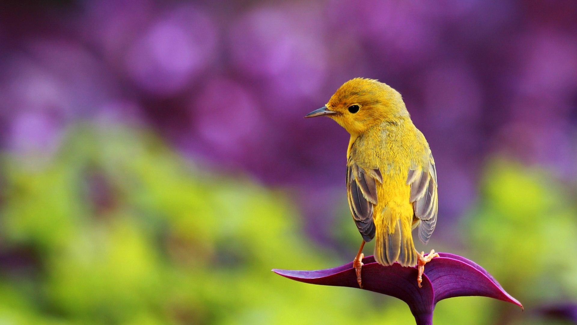 Beautiful Yellow Bird Hd Spring Wallpaper