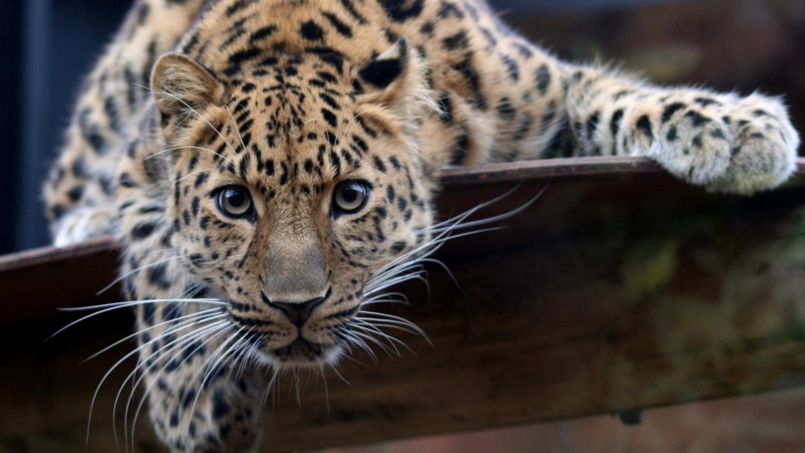 A Beautiful Big Jaguar