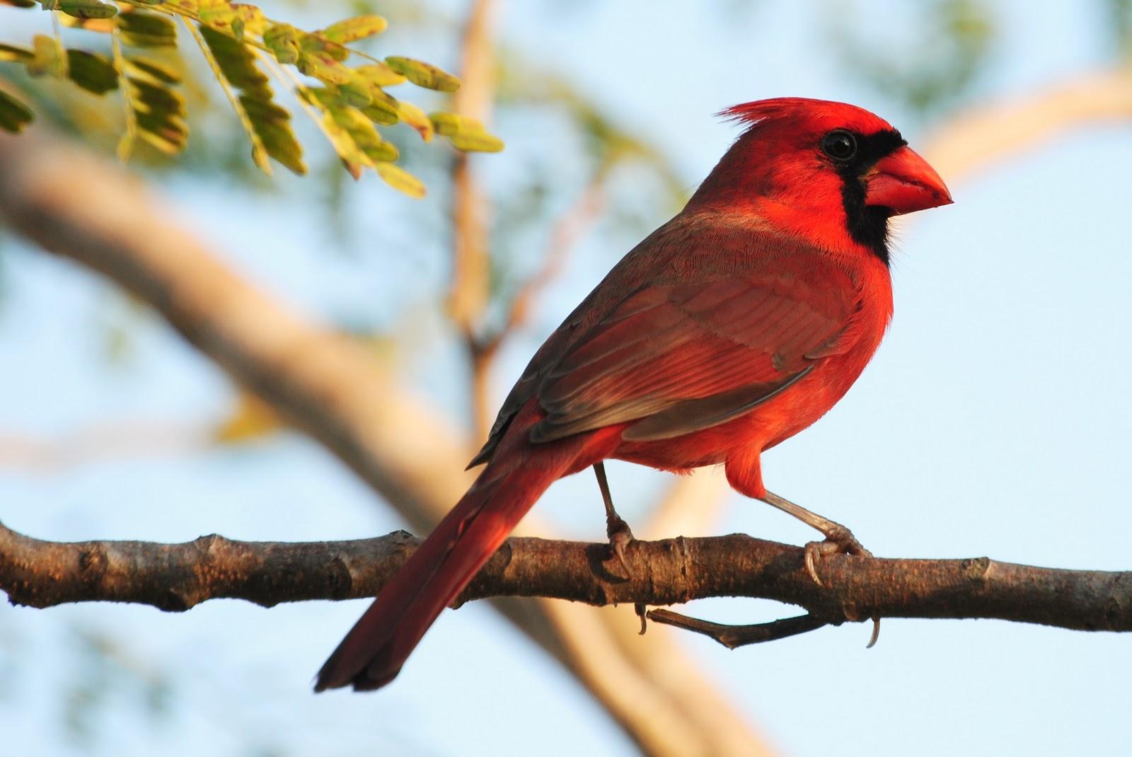A Beautiful Red Bird On A Branch Bird Conservation