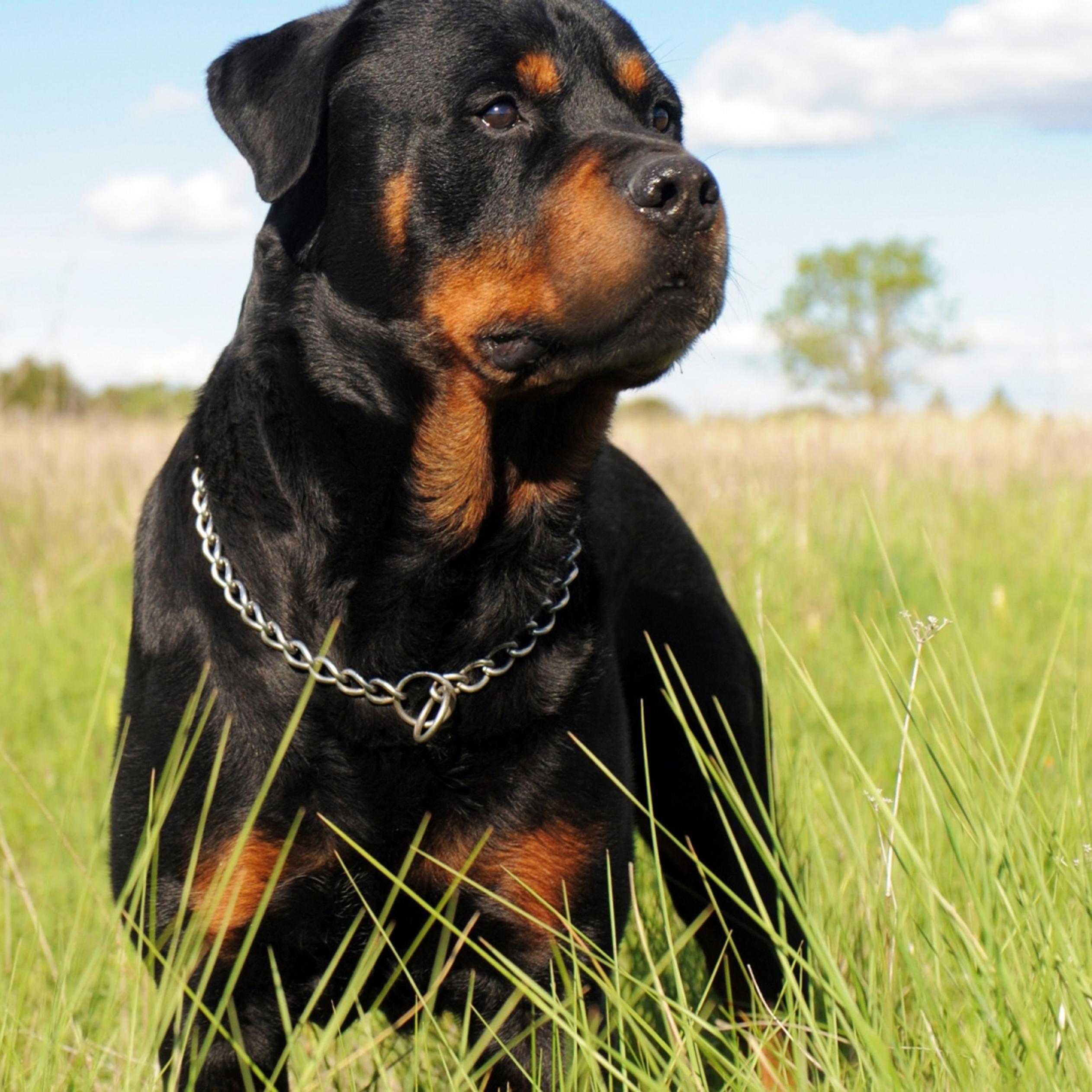 Rottweiler Wallpaper: A Black Rottweiler Dog In The Grass Field Wallpaper