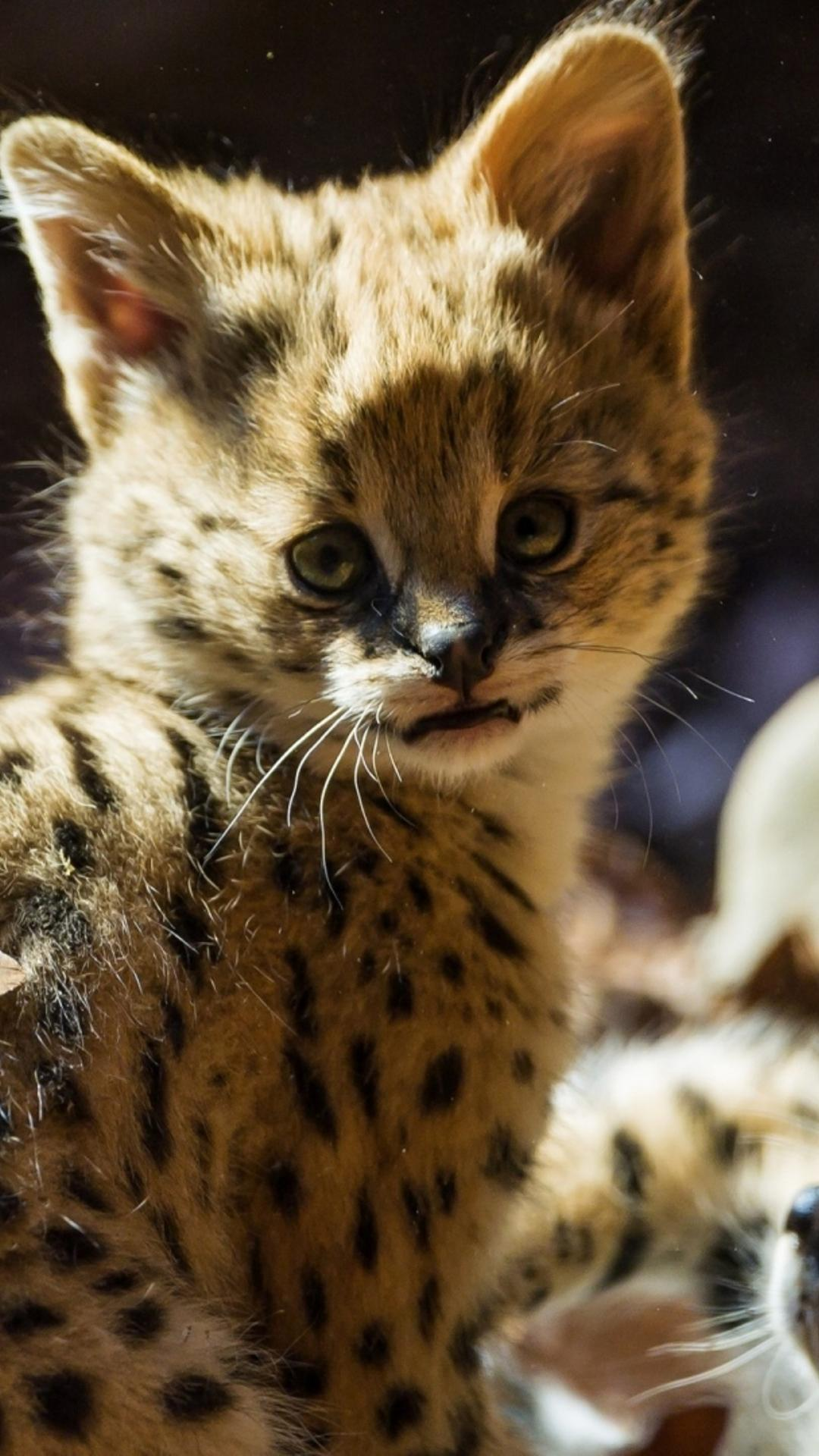 baby cute jaguar wallpaper - photo #40