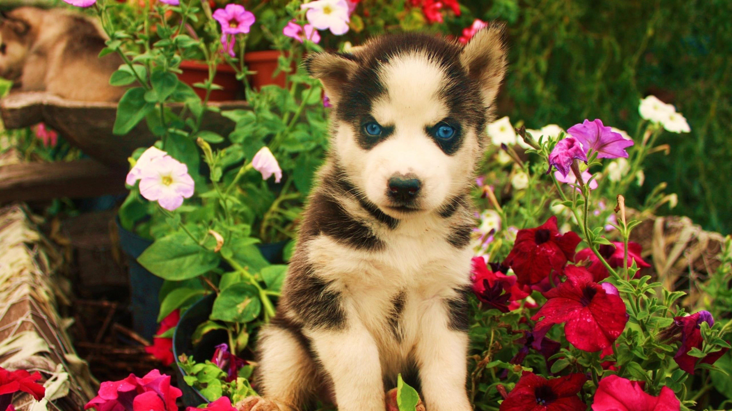 A Cute Husky Puppy With Blue Eyes Between Flowers Wallpaper Download
