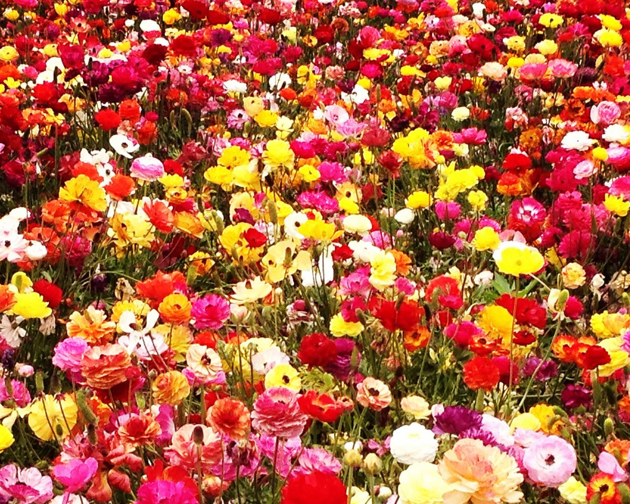 a field with colorful flowers wallpaper download 1280x1024