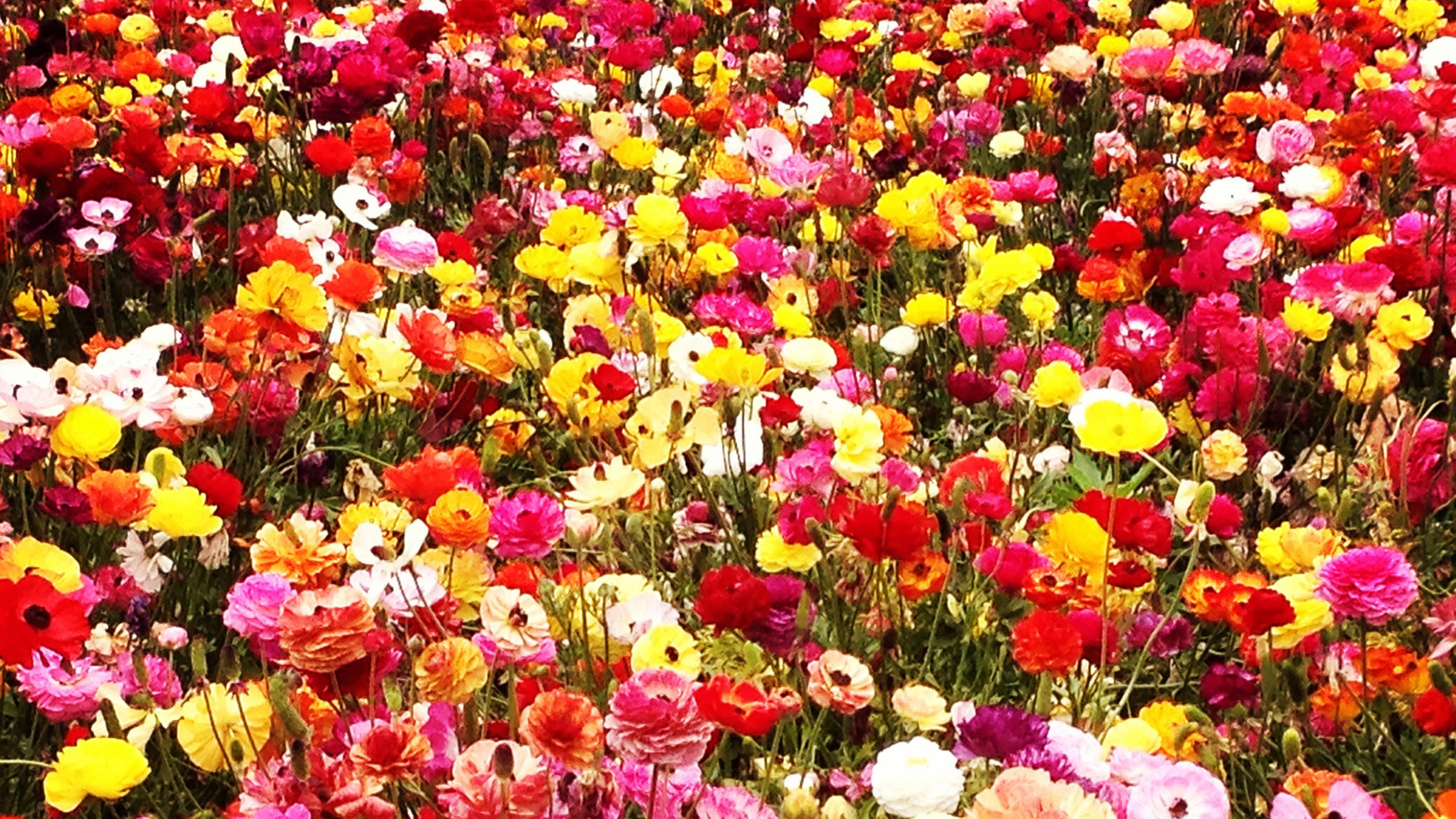 A field with colorful flowers Wallpaper Download 3840x2160