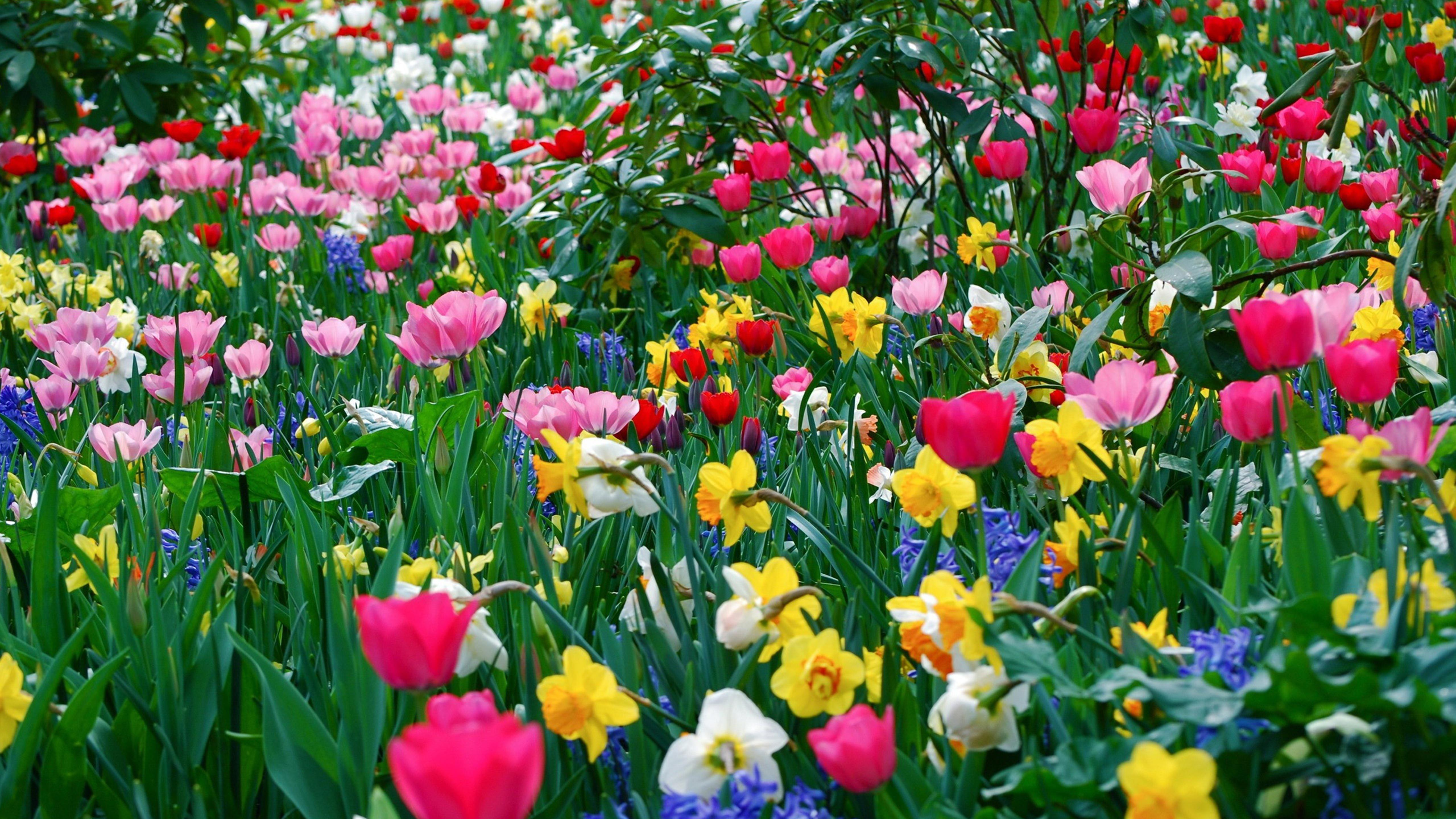 a field with pink tulips and white and yellow daffodils wallpaper