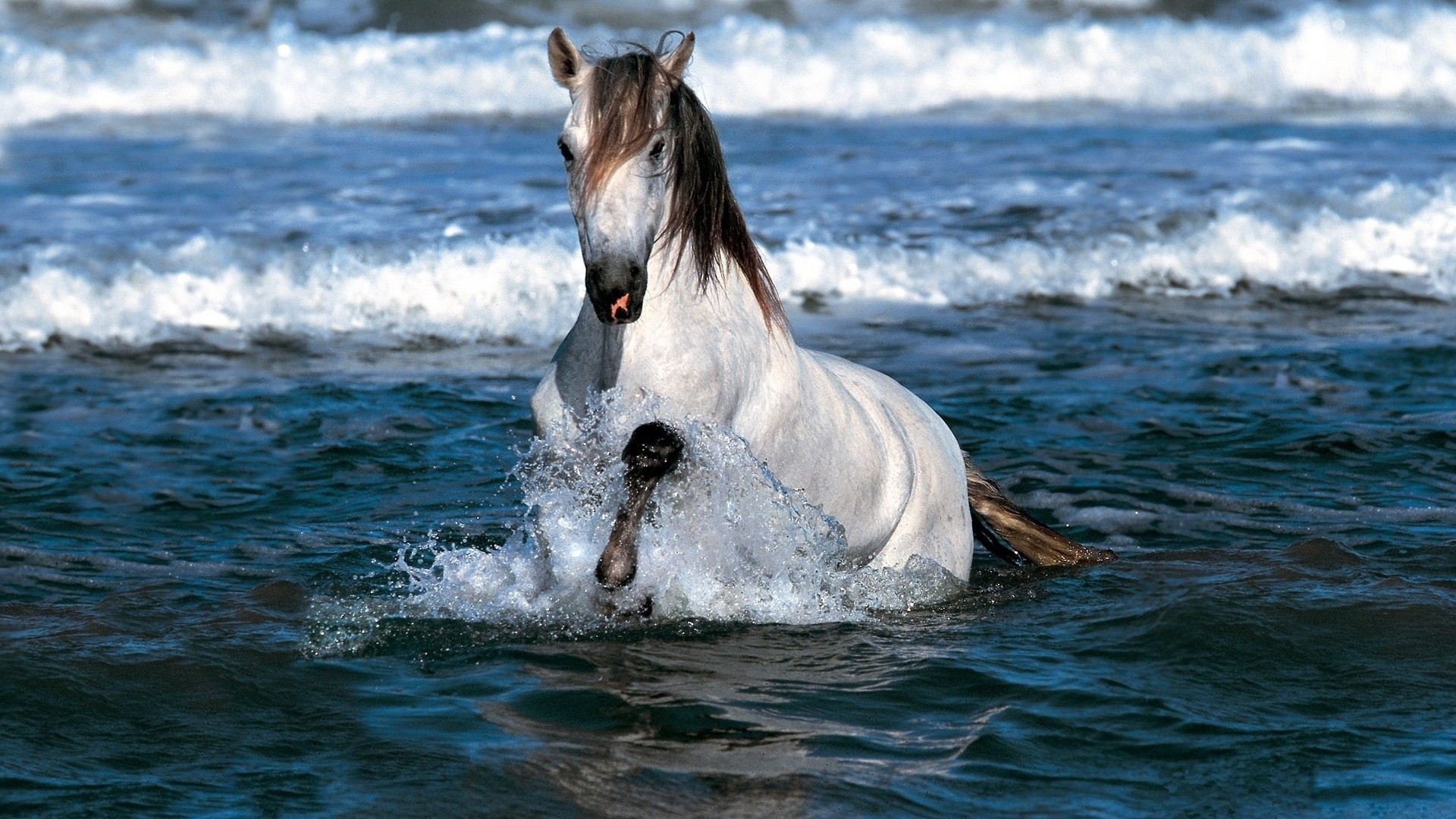 A Gorgeous White And Brown Horse In Water Wallpaper Download 1920x1080