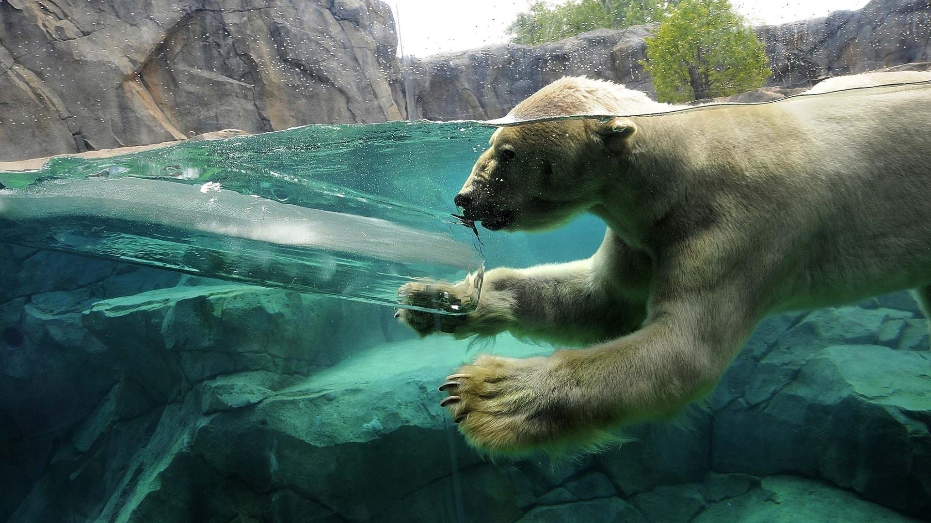 Polar bear swimming in ocean - photo#20