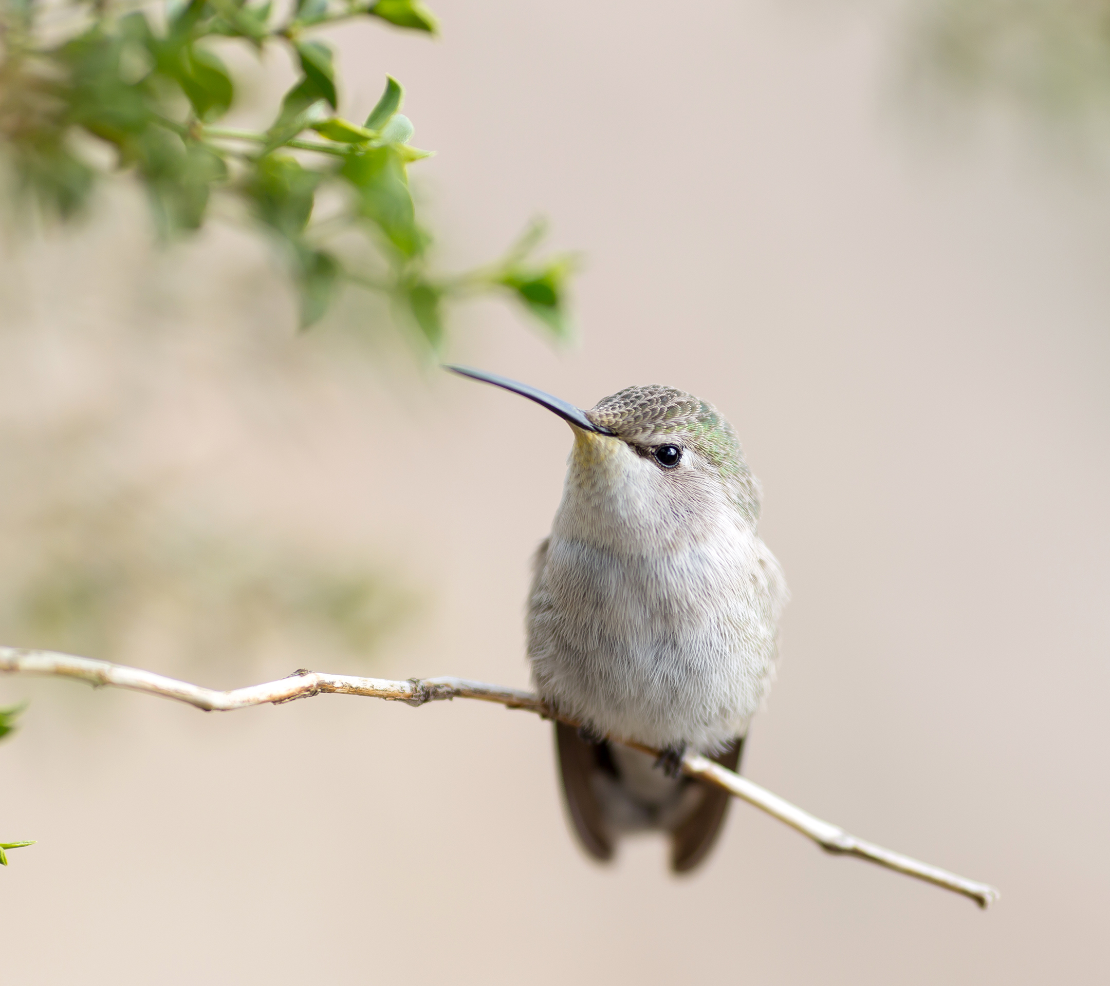 A Sweet Bird On The Thin Branch