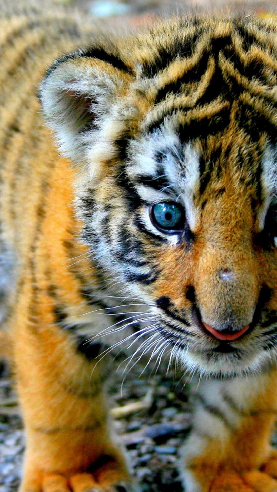a sweet tiger cub - wild animal wallpaper wallpaper download 1080x1920