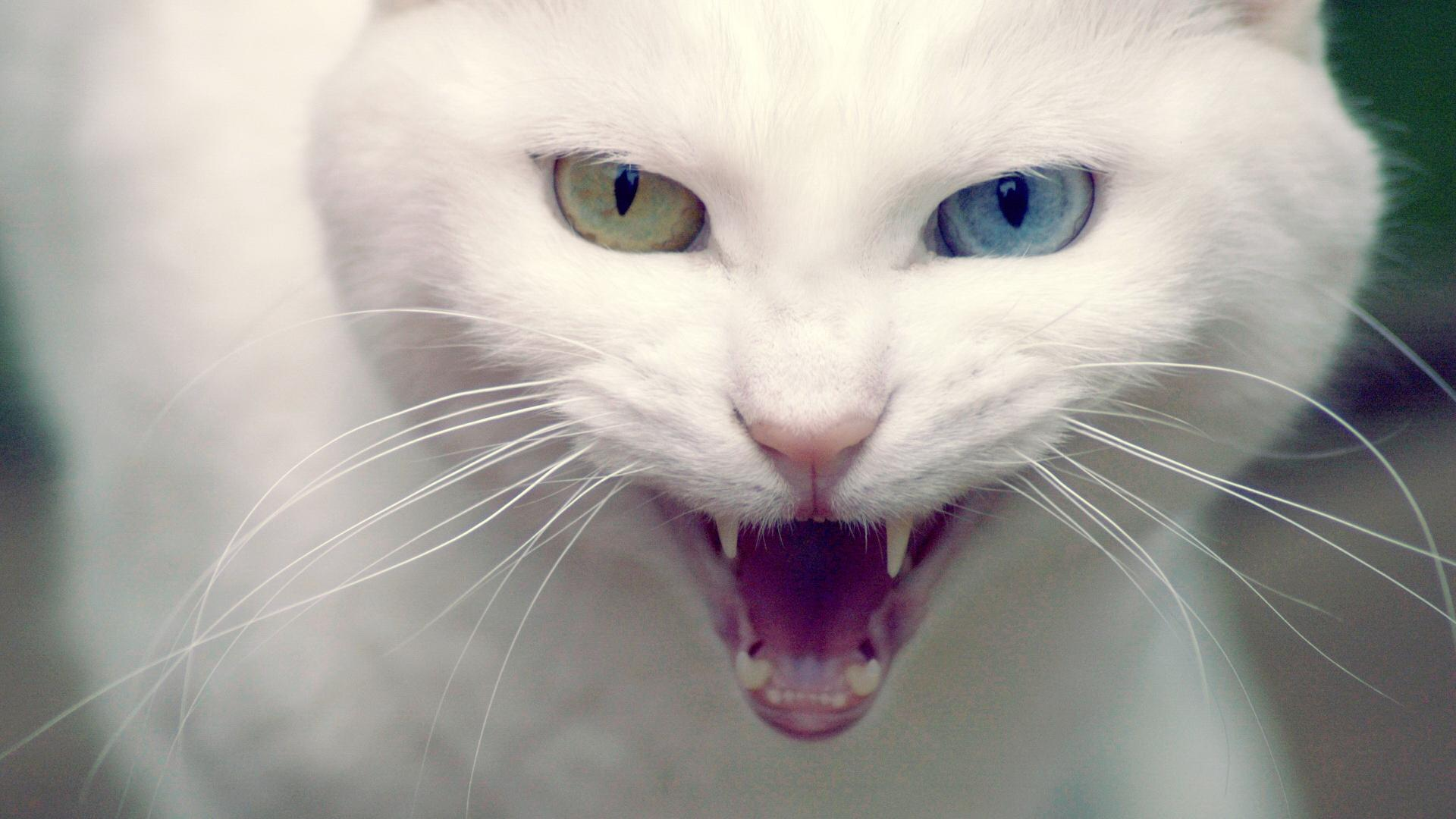Angry White Cat Wallpaper Download 1920x1080