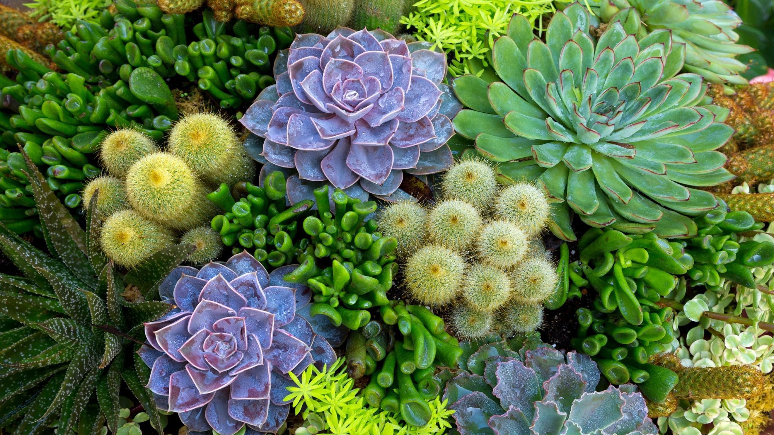 Beautiful Cactus Flowers In The Garden Hd Wallpaper Wallpaper