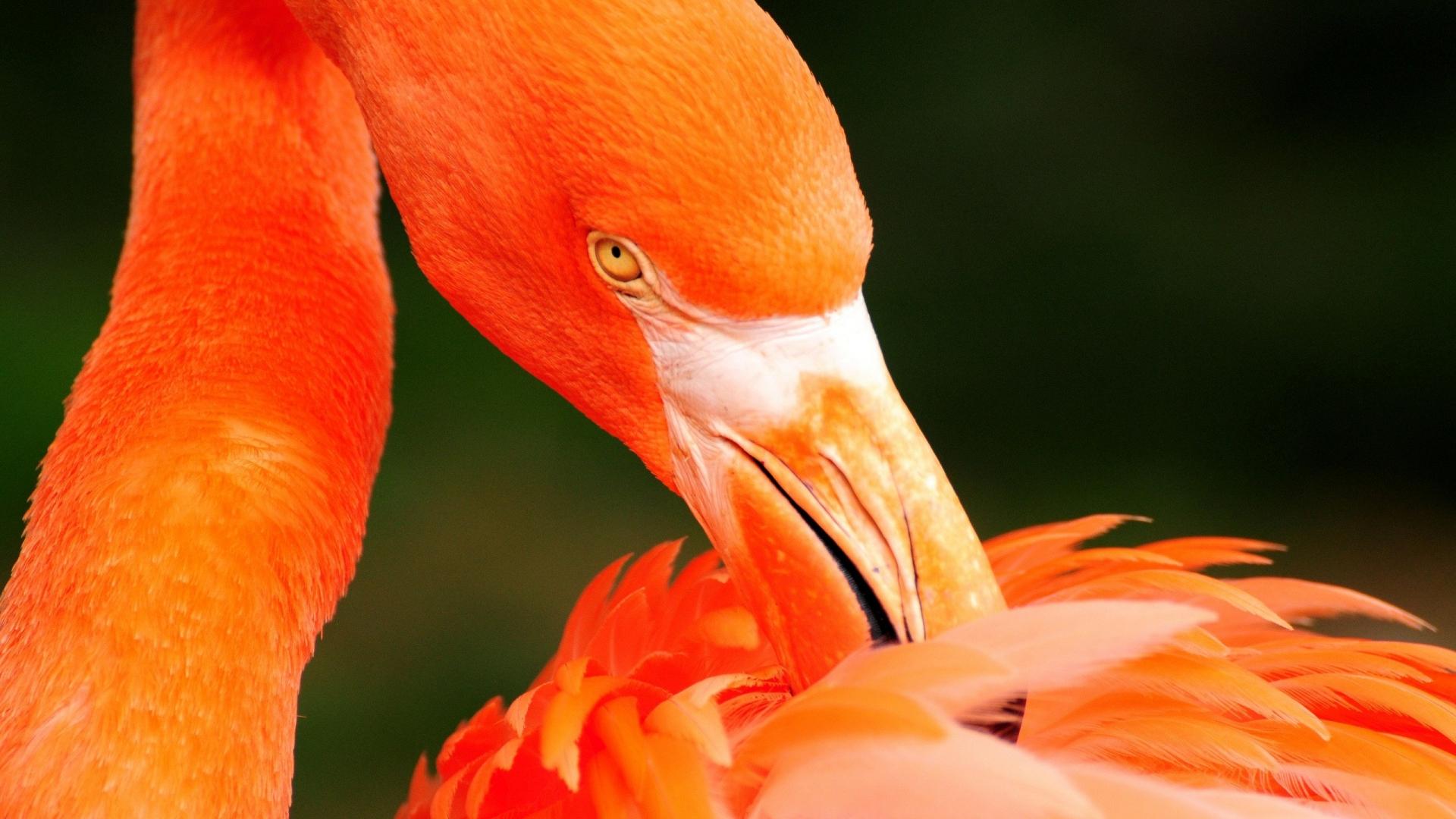 Beautiful orange flamingo bird - HD wallpaper