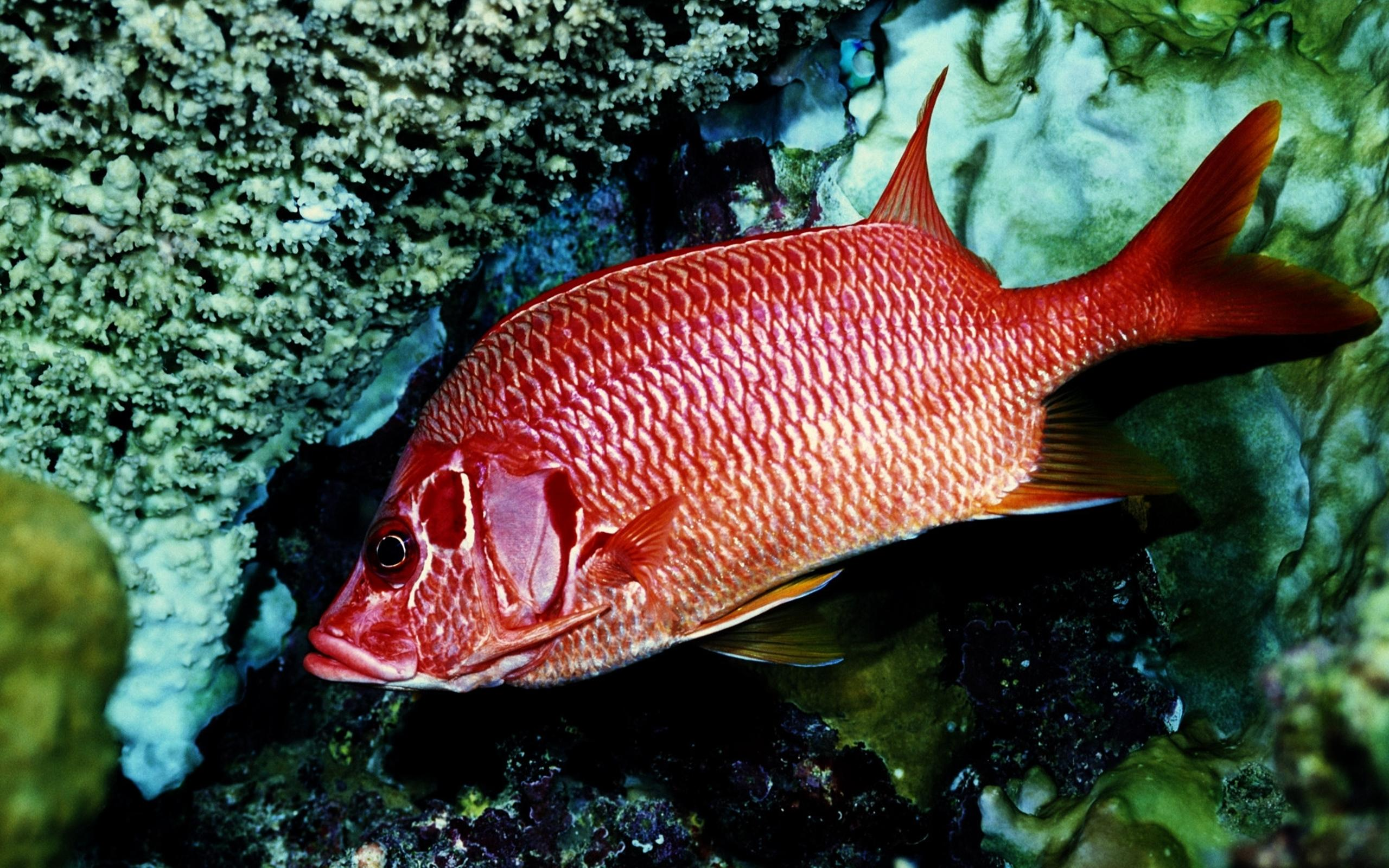 Beautiful red fish wallpaper - Interesting fish Wallpaper Download ...