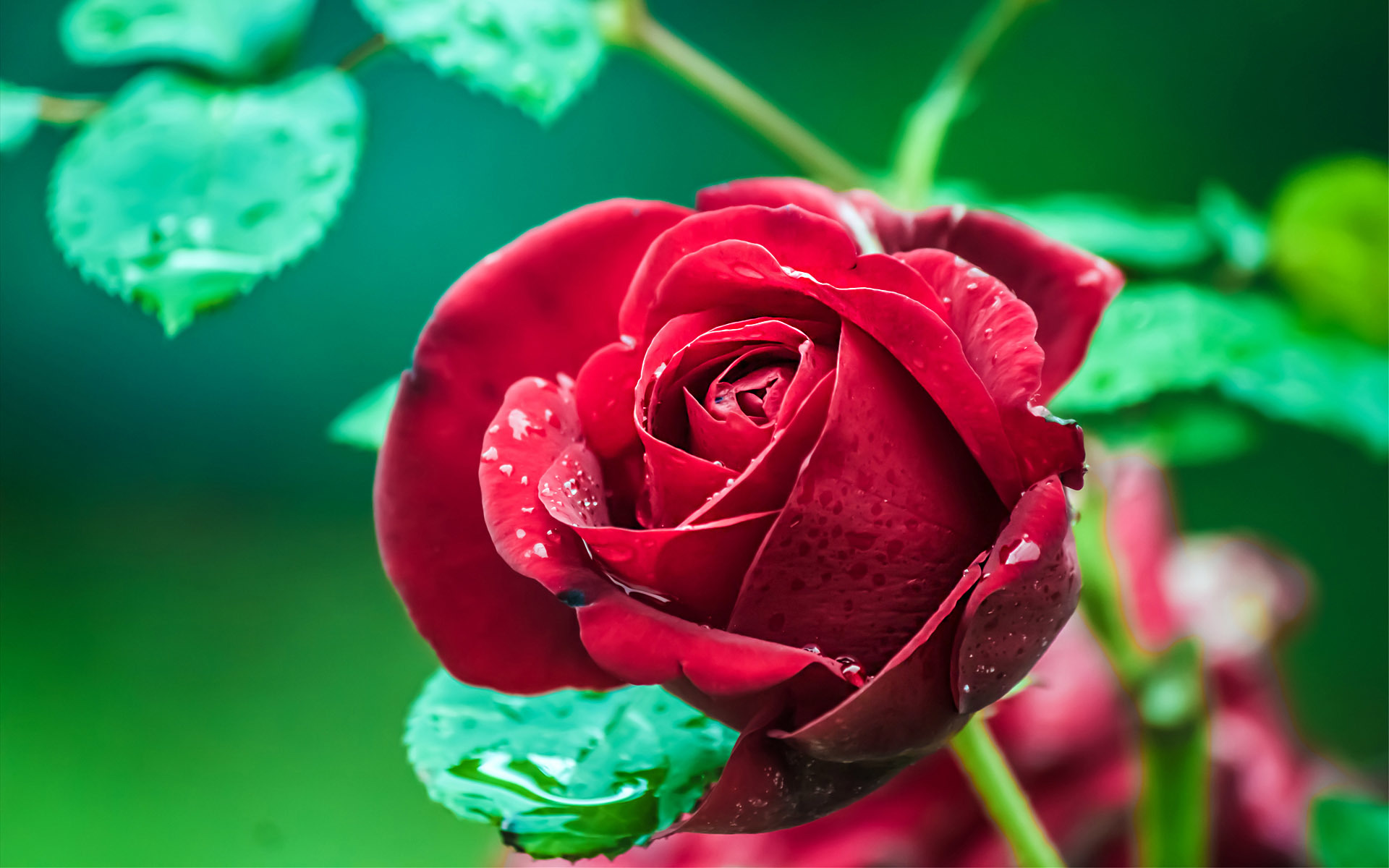 Beautiful red rose with raindrops in the garden