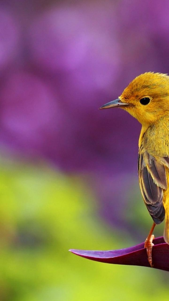 beautiful yellow bird - hd spring wallpaper wallpaper download 720x1280