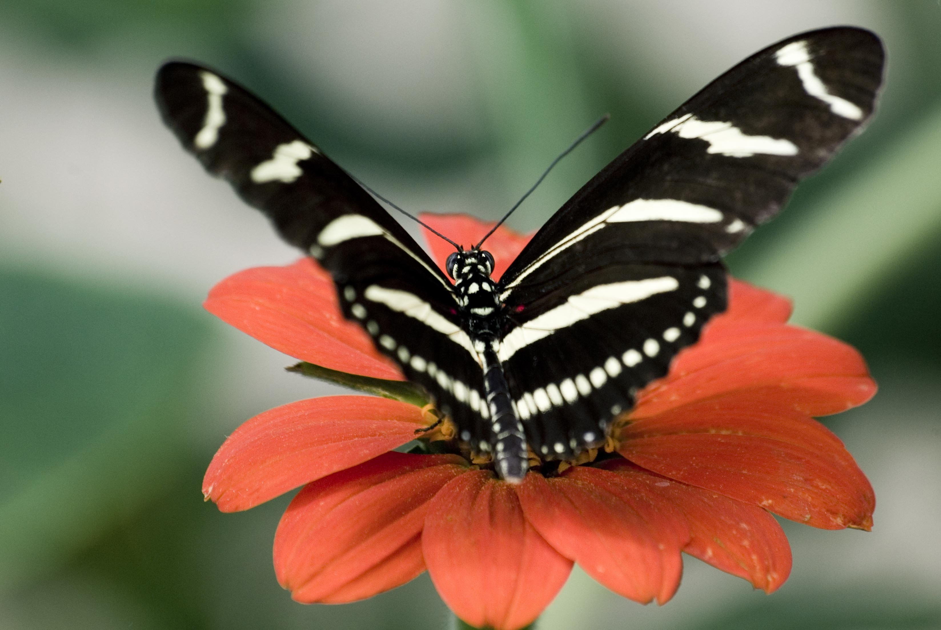 Big Black And White Butterfly On A Flower