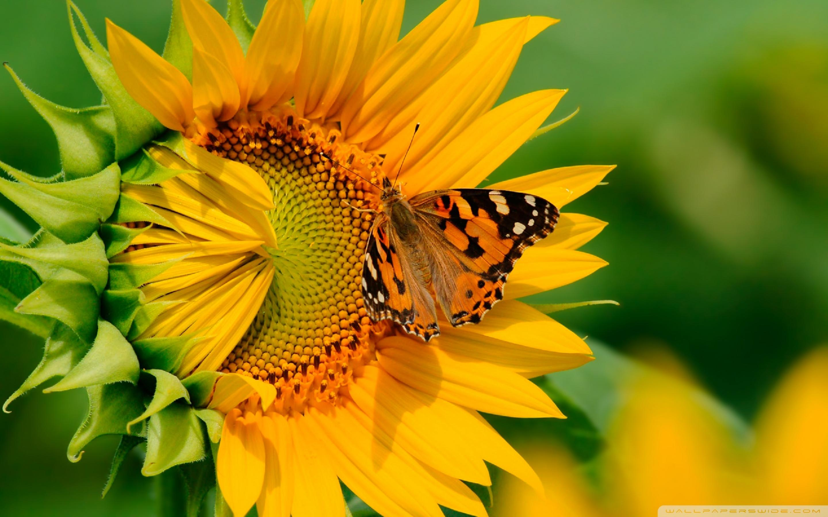 Amazing Wallpaper Macbook Sunflower - big-butterfly-on-a-sunflower-hd-wallpaper-2880x1800  Perfect Image Reference_41774.jpg