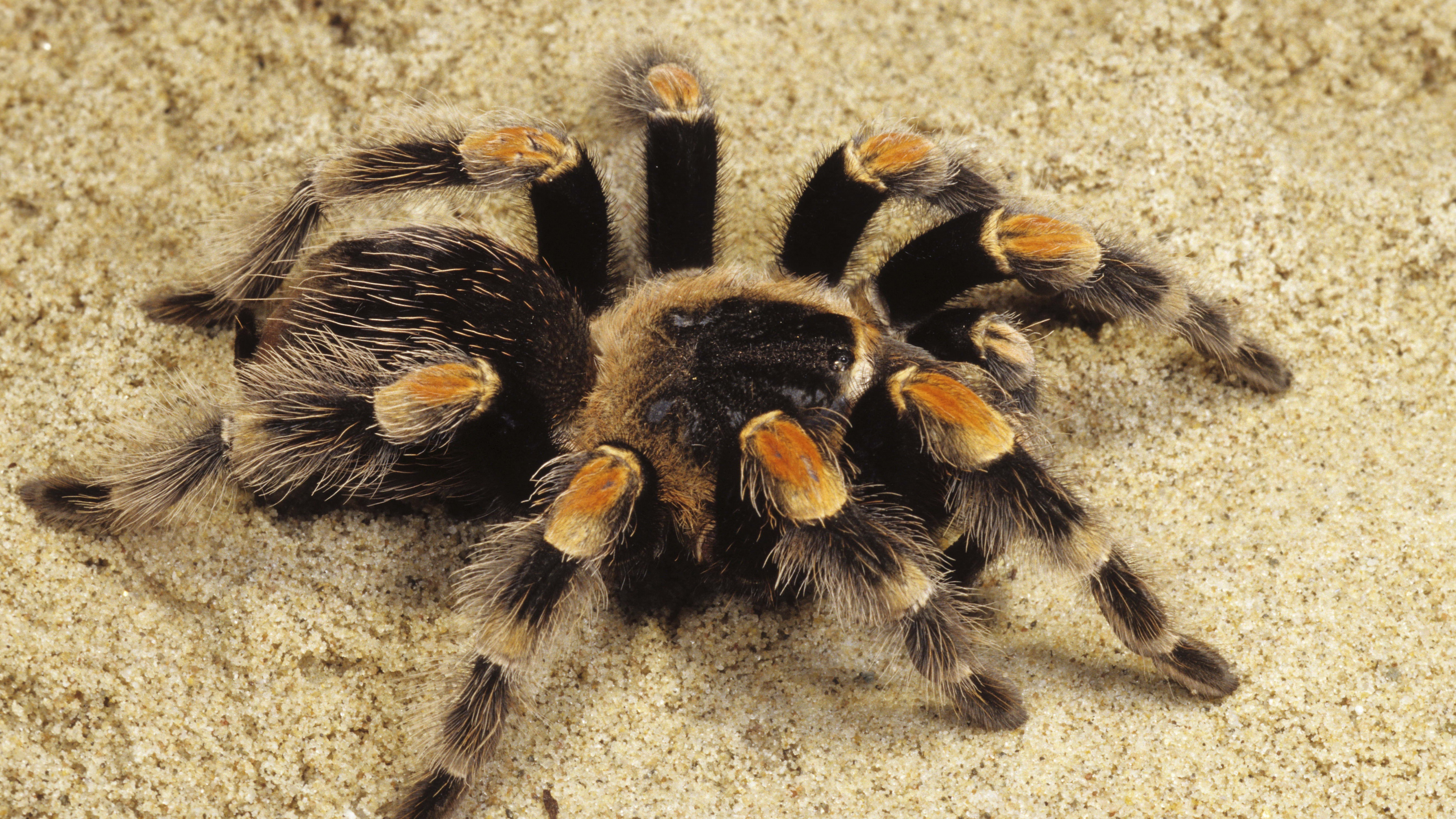 Black And Yellow Spider On The Sand Tarantula Wallpaper