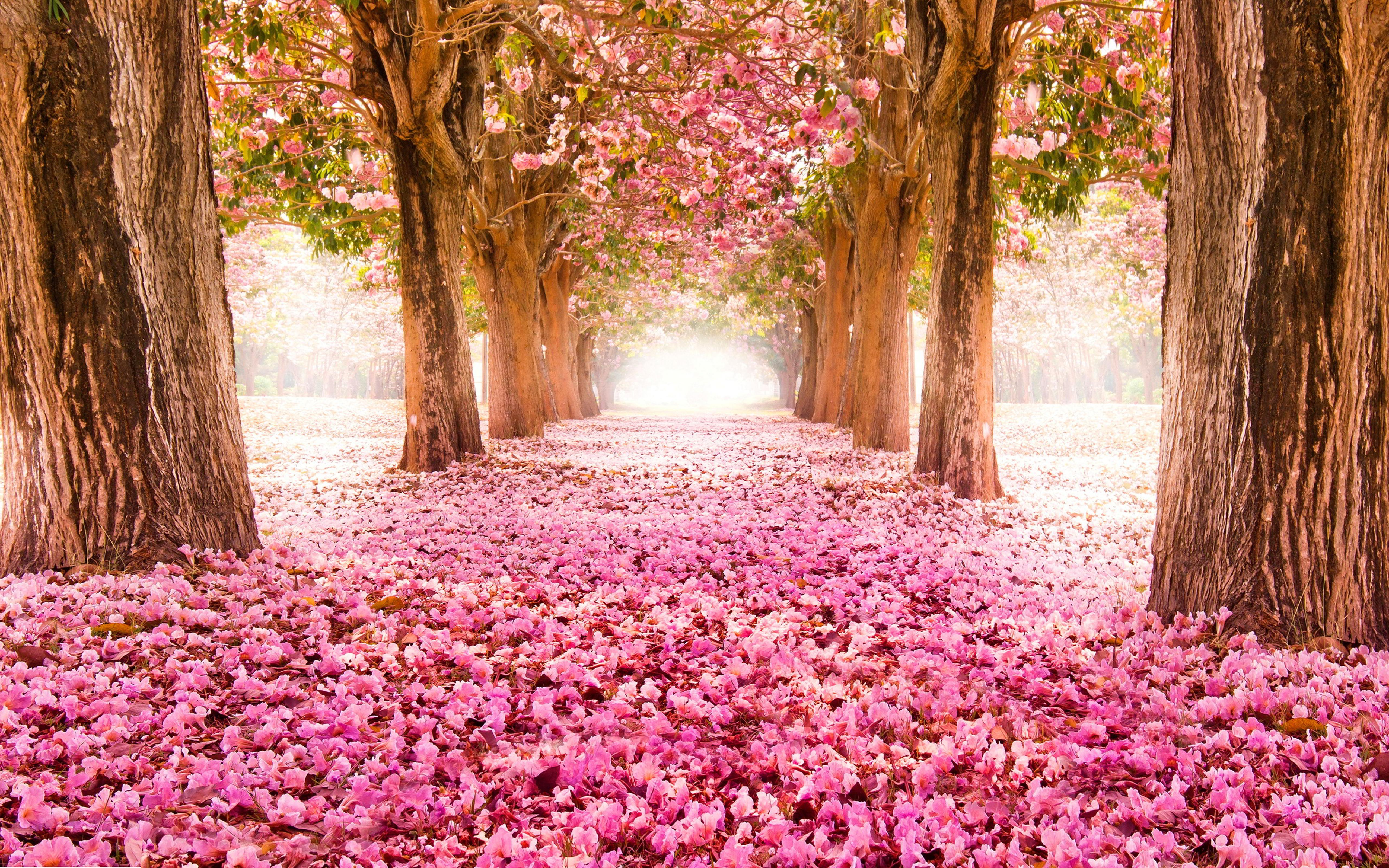 Blooming trees and many pink flowers wallpaper download 5120x3200 download wallpaper 5120x3200 blooming trees and many pink flowers voltagebd Images