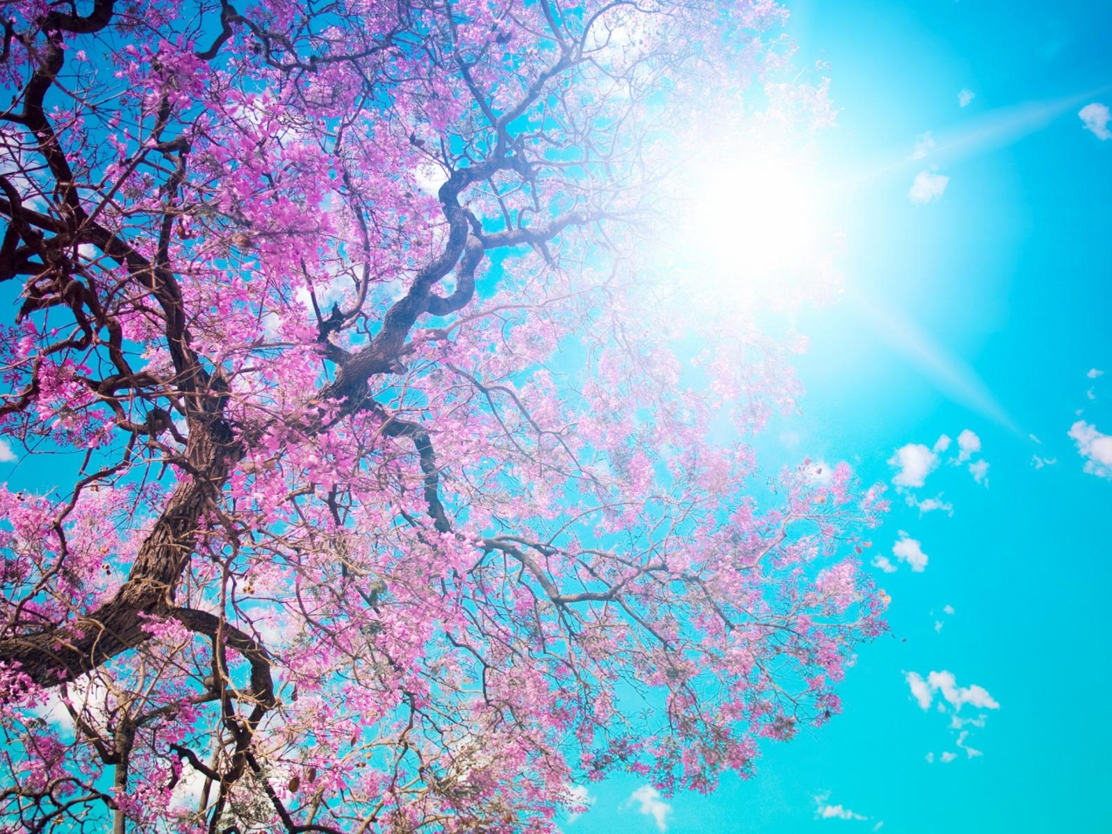 Branches With Pink Flowers In The Sunlight Wallpaper Download 1600x1200