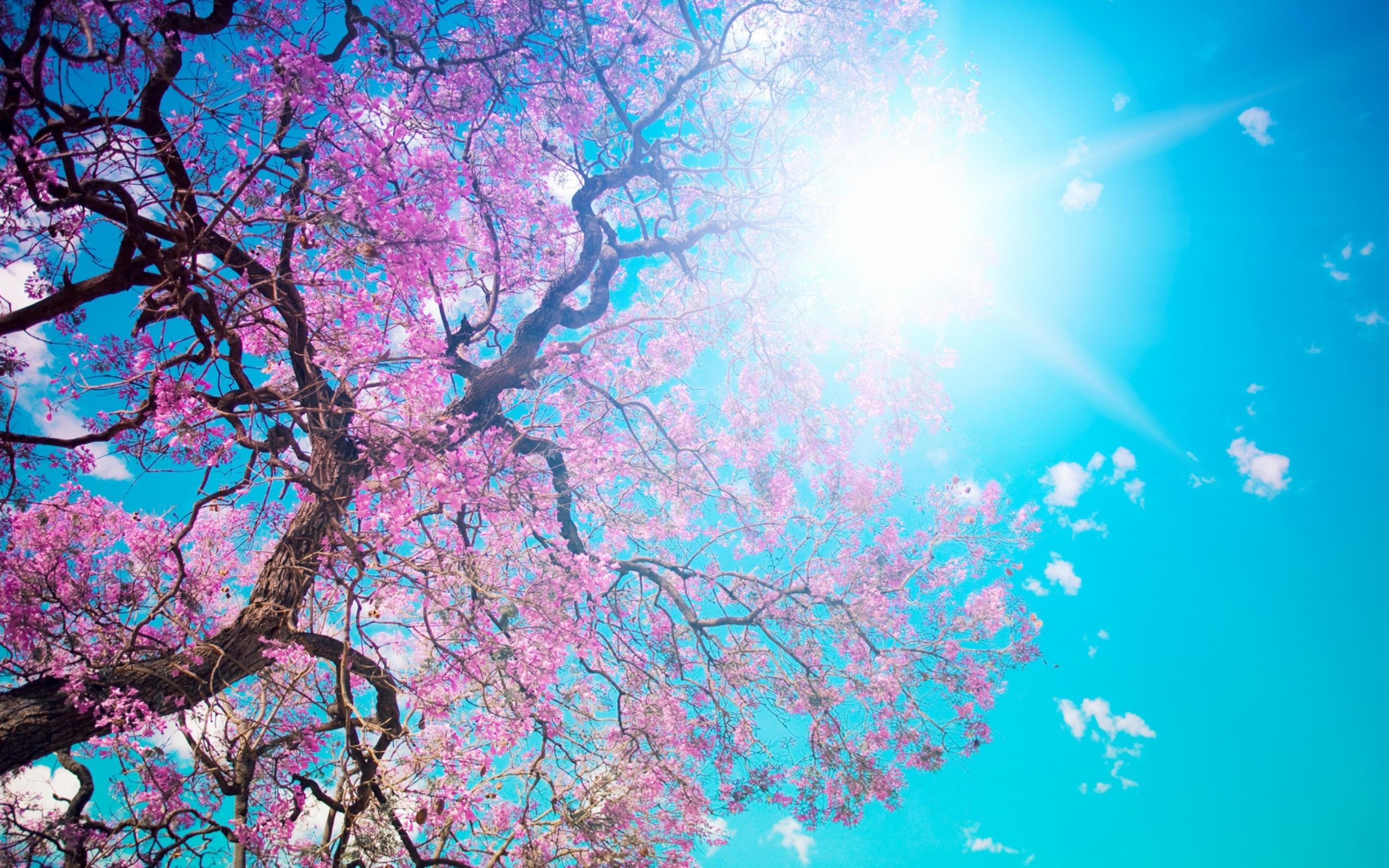 Branches With Pink Flowers In The Sunlight Wallpaper Download 2560x1600