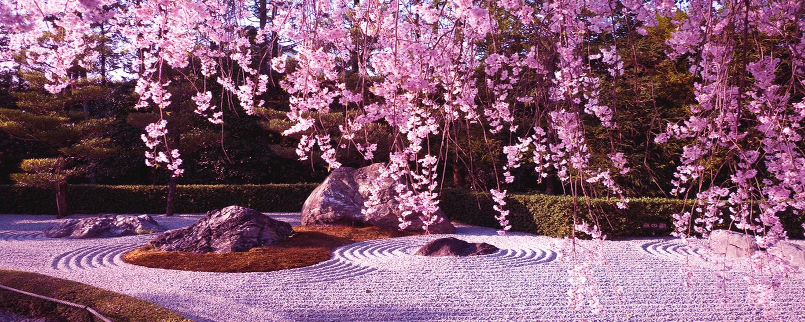 Cherry Tree Blossom Wonderful Carpet Of Spring Flowers Wallpaper