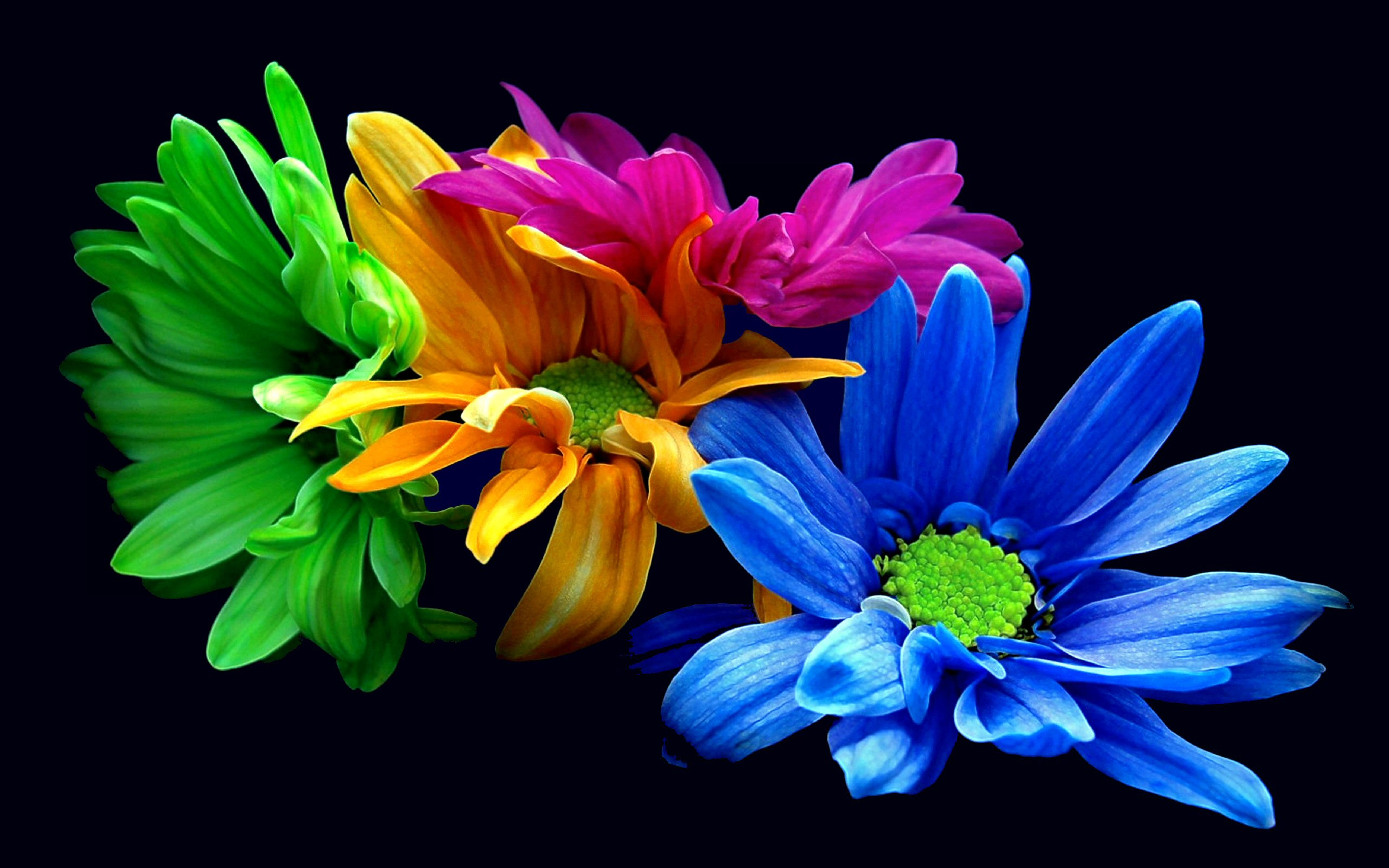 Colored Daisies On The Black Background Wallpaper Download
