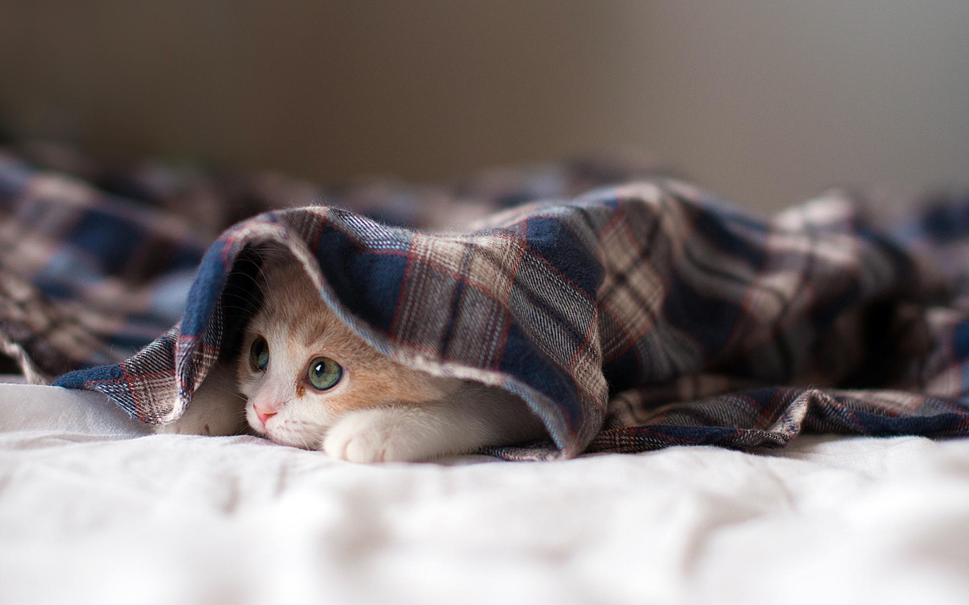 cute cat hiding under blue blanket