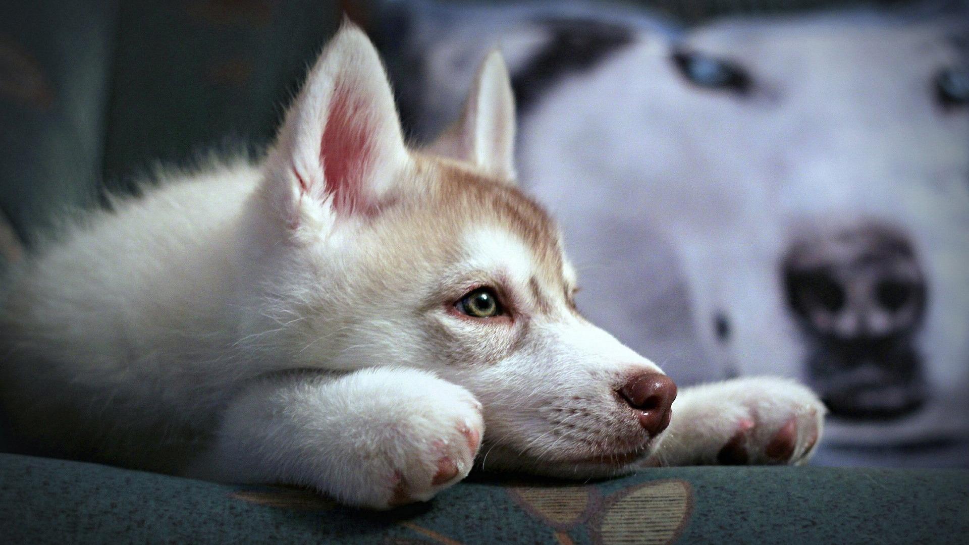 cute-husky-puppy-white-dog-wallpaper-1920x1080 jpgCute White Dog Wallpaper