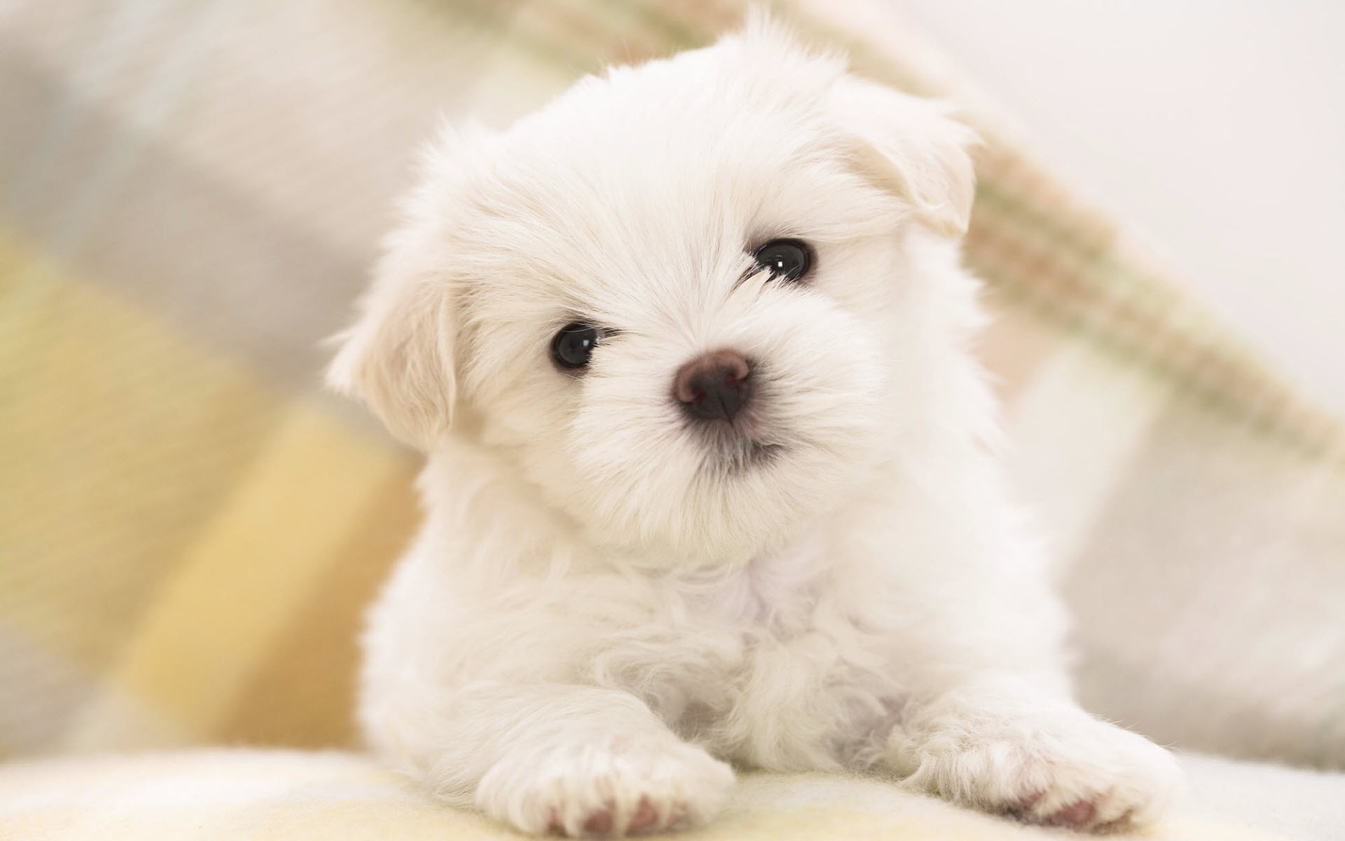 cute litte maltese dog - hd wallpaper