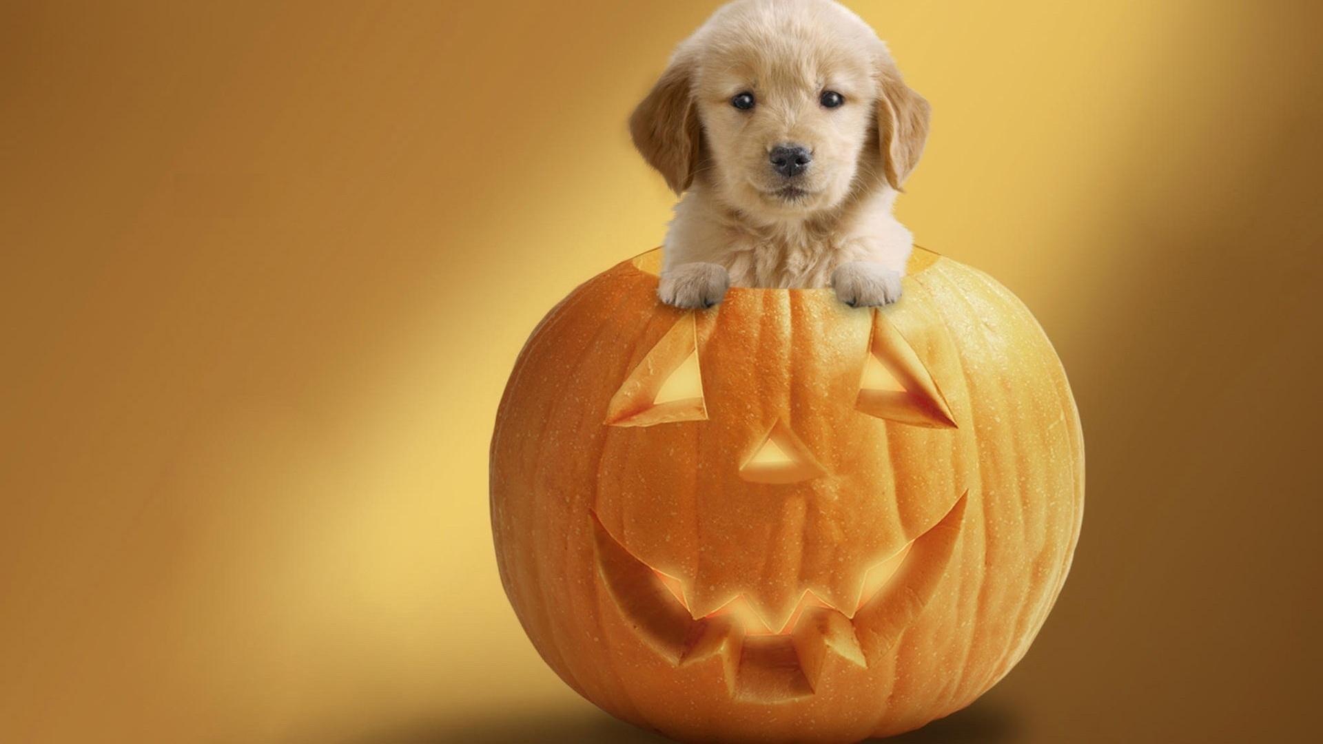 cute puppy   pumpkin halloween time