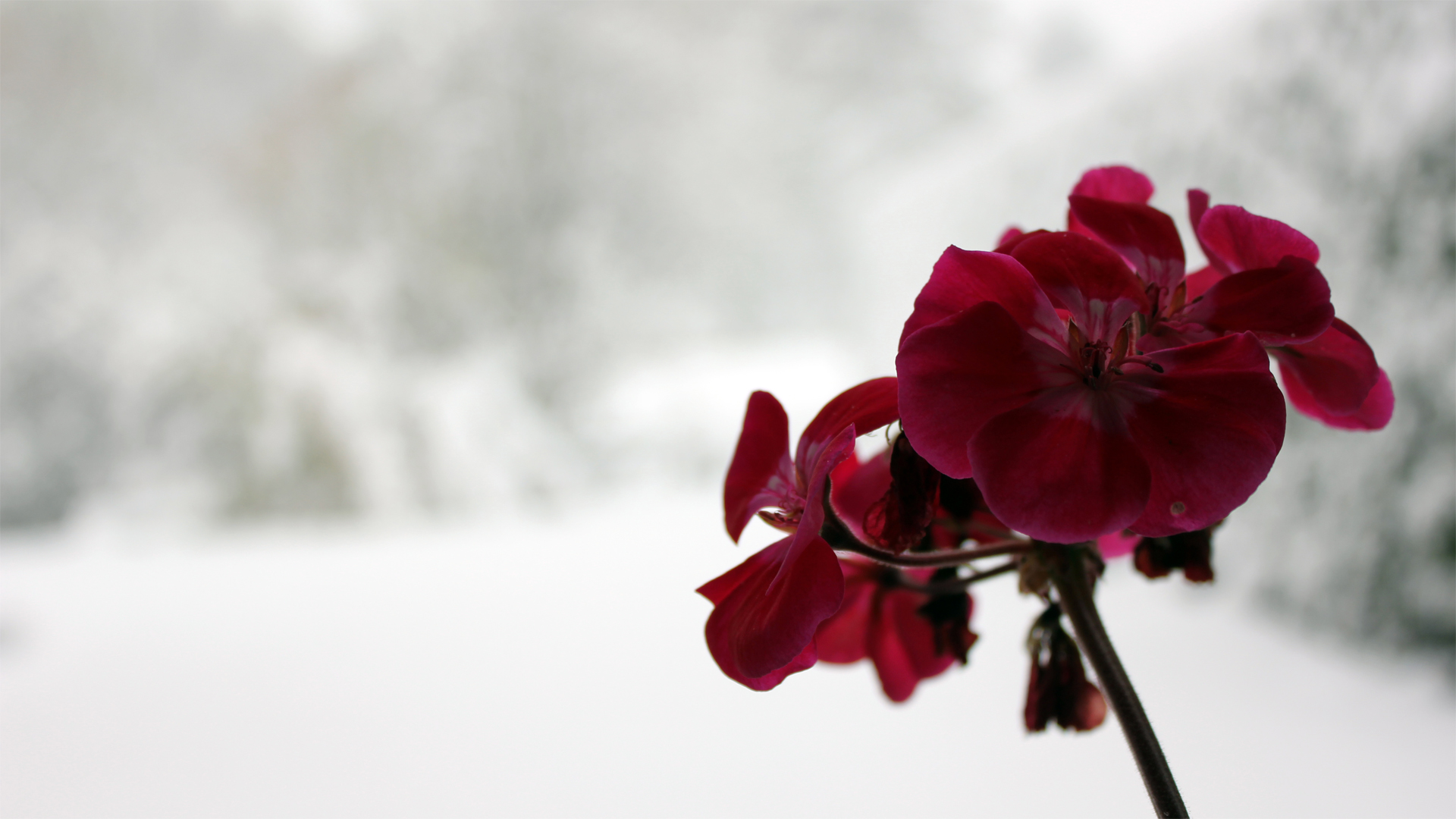 Dark Red Orchid On A Wonderful Winter Background