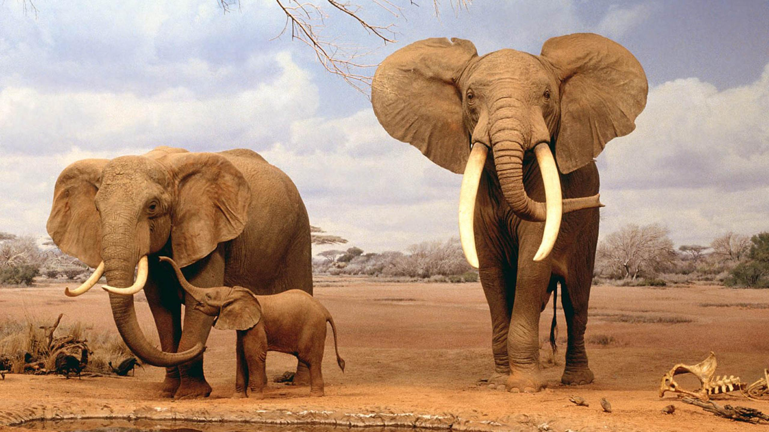 elephant family in the dessert - hd wild animal wallpaper download