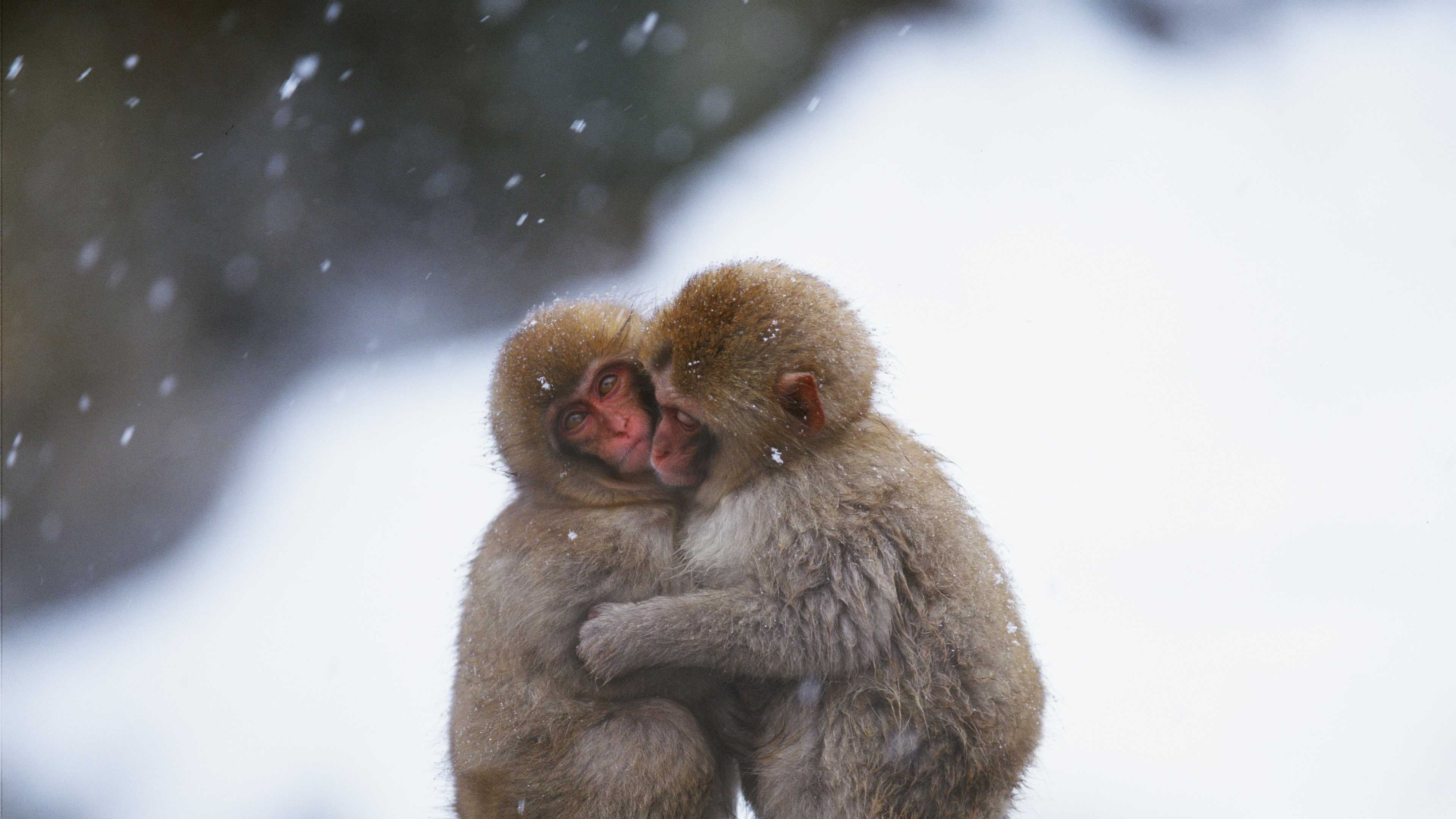 Embrace Between Two Monkeys In A Cold Day