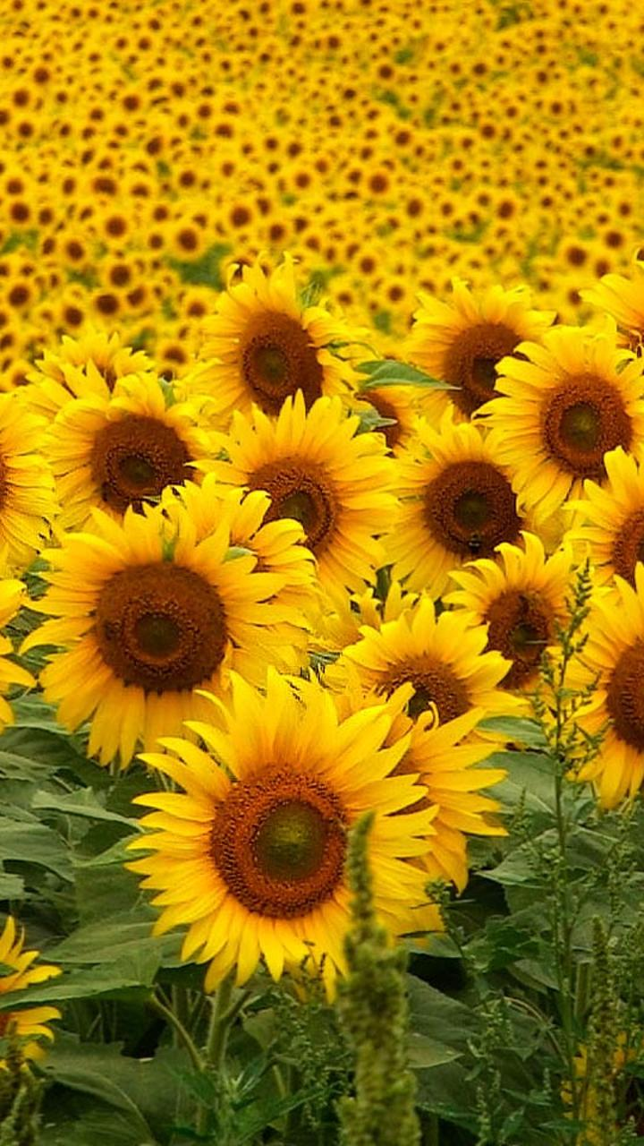 field stretched with sunflower wallpaper download 720x1280