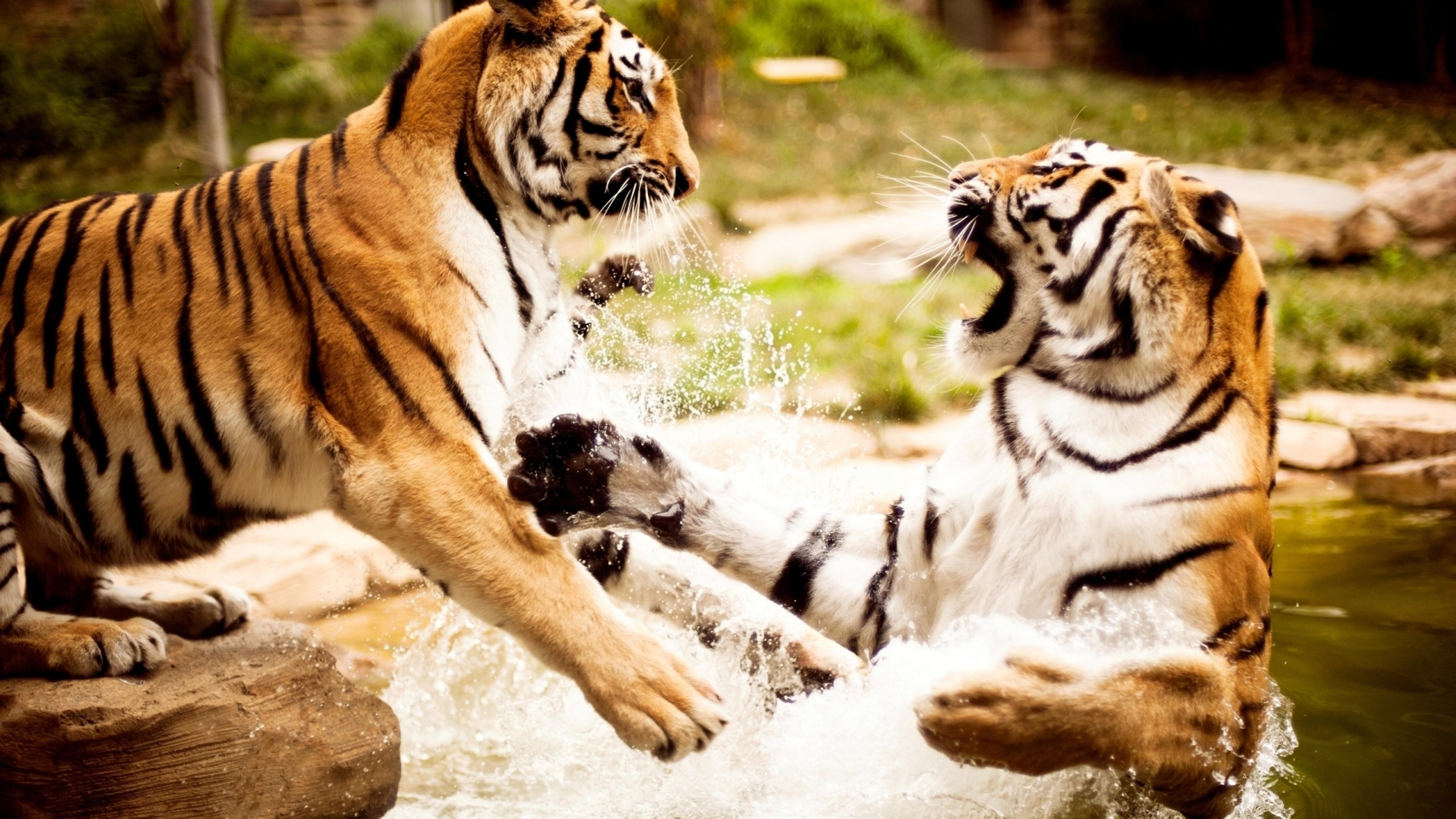 fight between tigers in water - wild animals wallpaper download