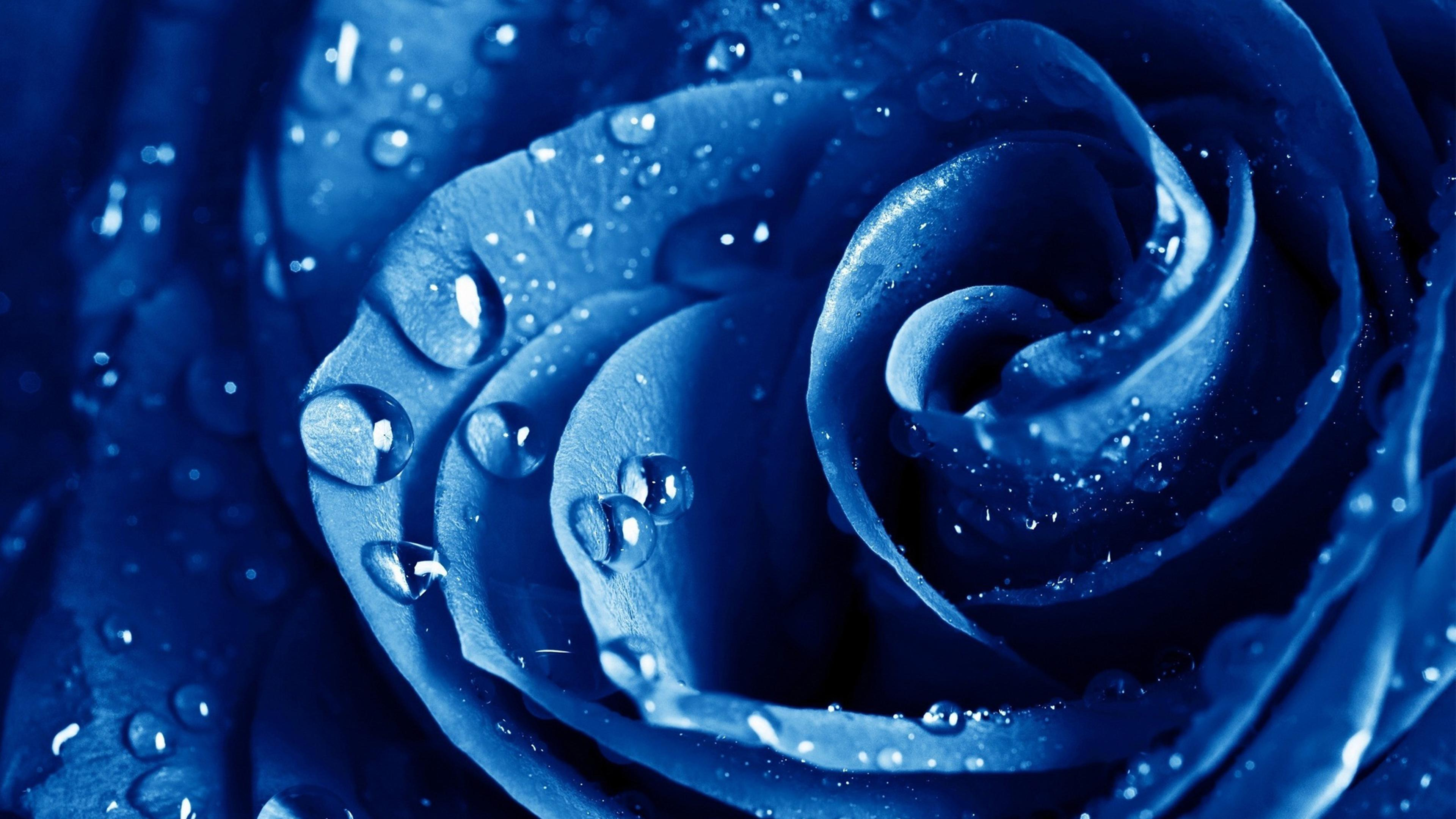 Fresh blue rose with rain drops wallpaper download 3840x2160 altavistaventures Image collections