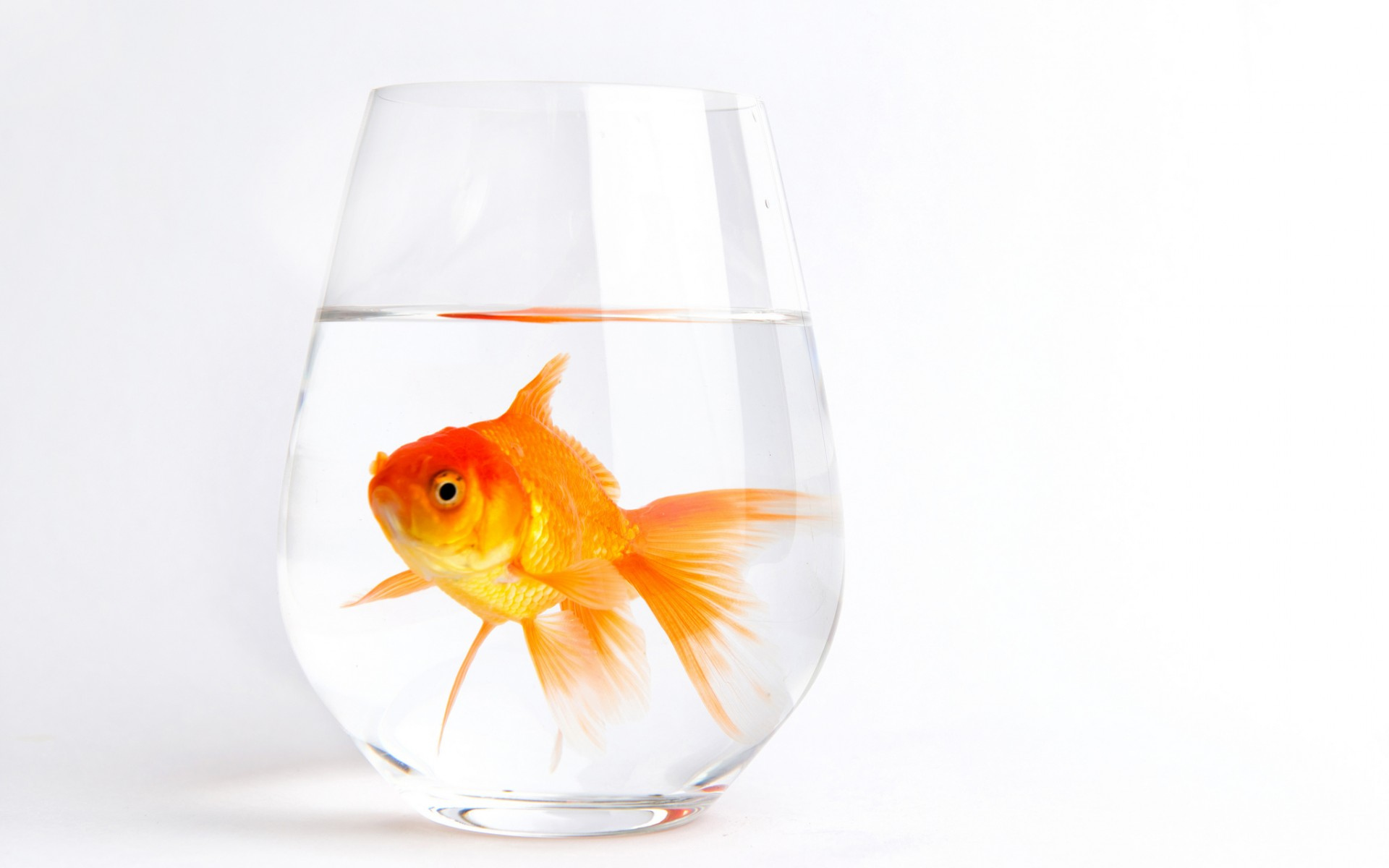 Gold Fish In A Glass With Water