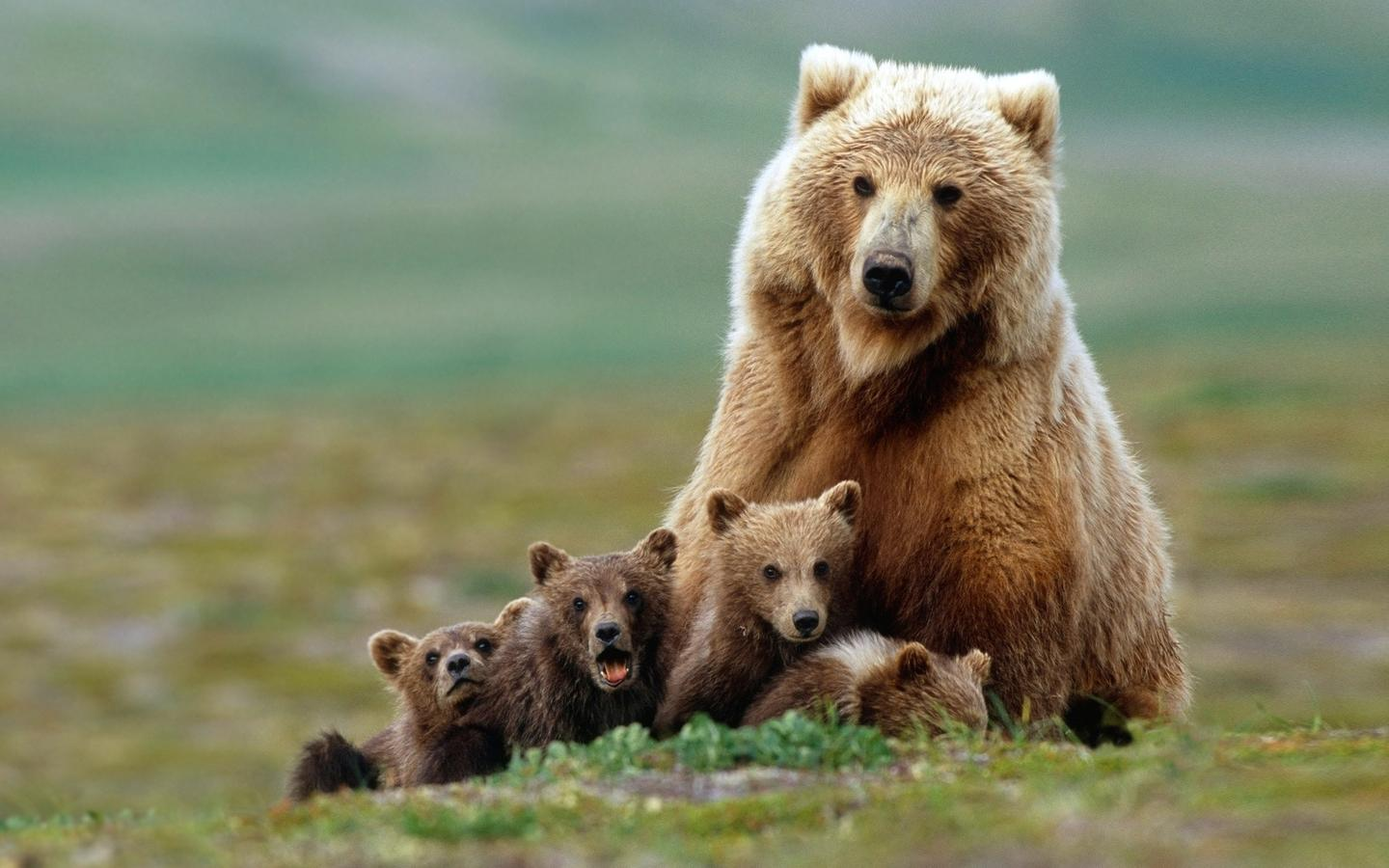 Grizzly With Cubs HD Wallpaper Download 1440x900