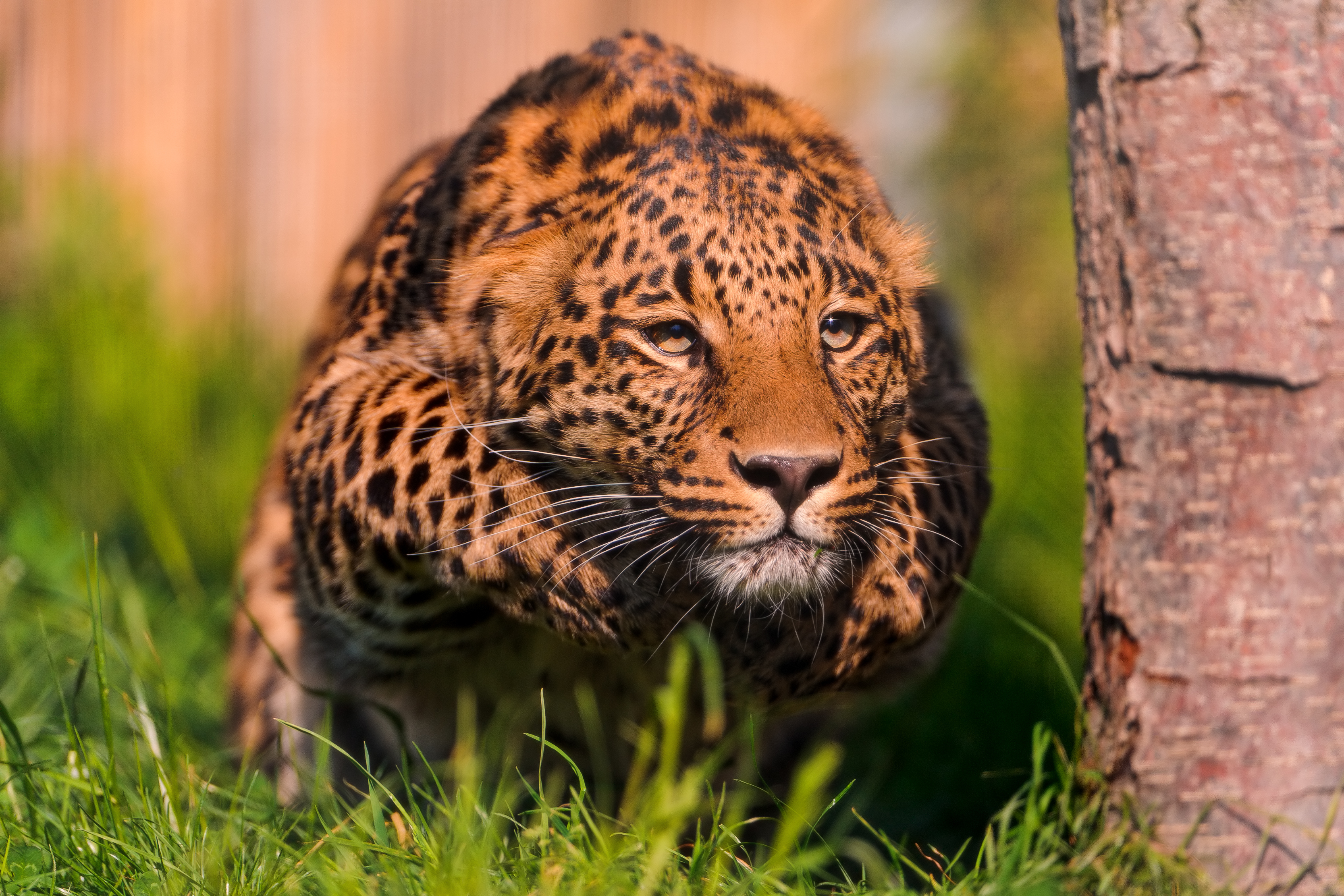 Jaguar animal pouncing hd - Jaguar animal hd wallpapers ...