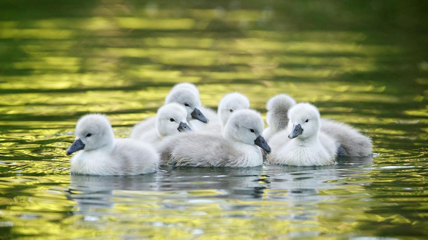 Download Wallpaper 1366x768 Little Ducks On The Lake