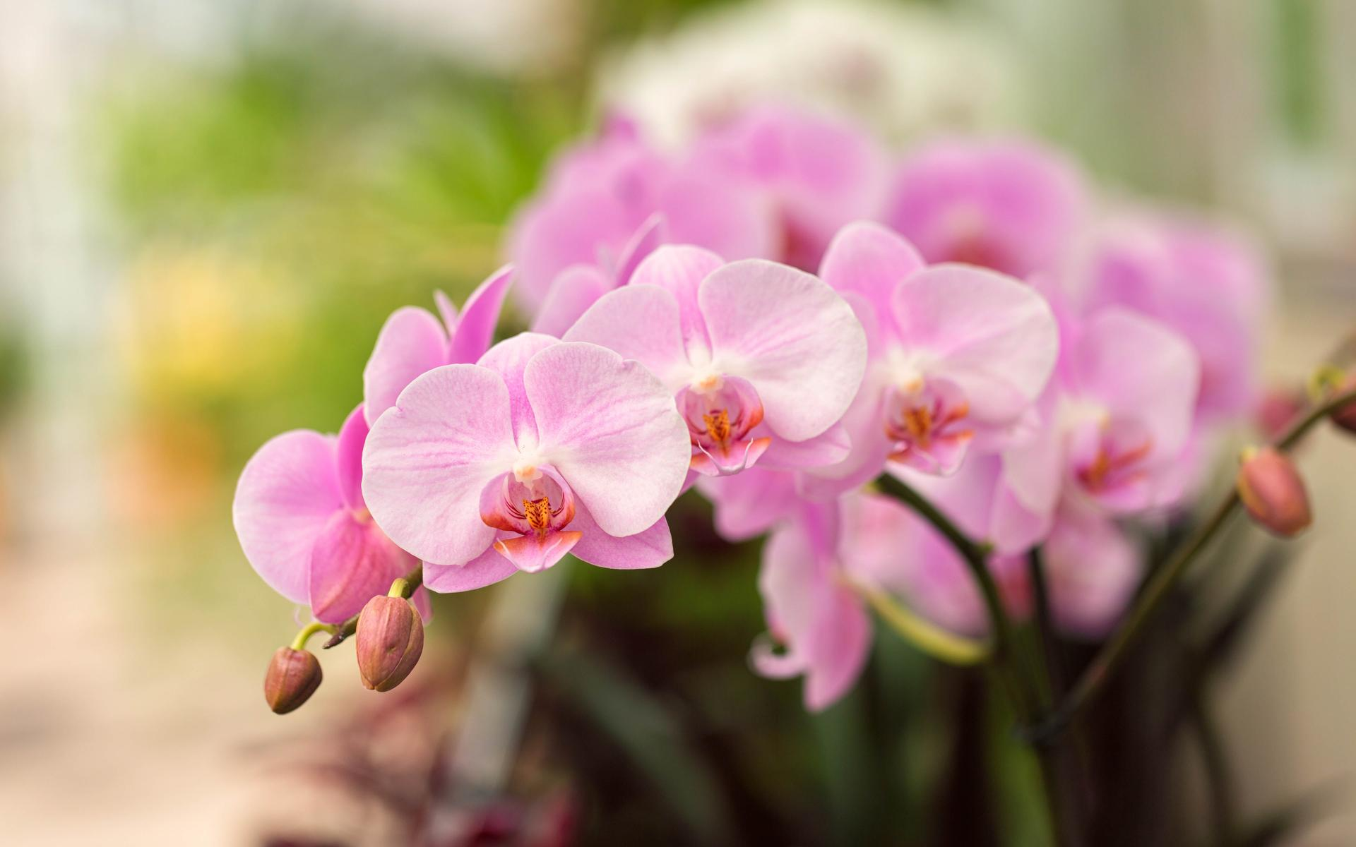 Little Pink Orchid Flowers Wonderful Plant Wallpaper
