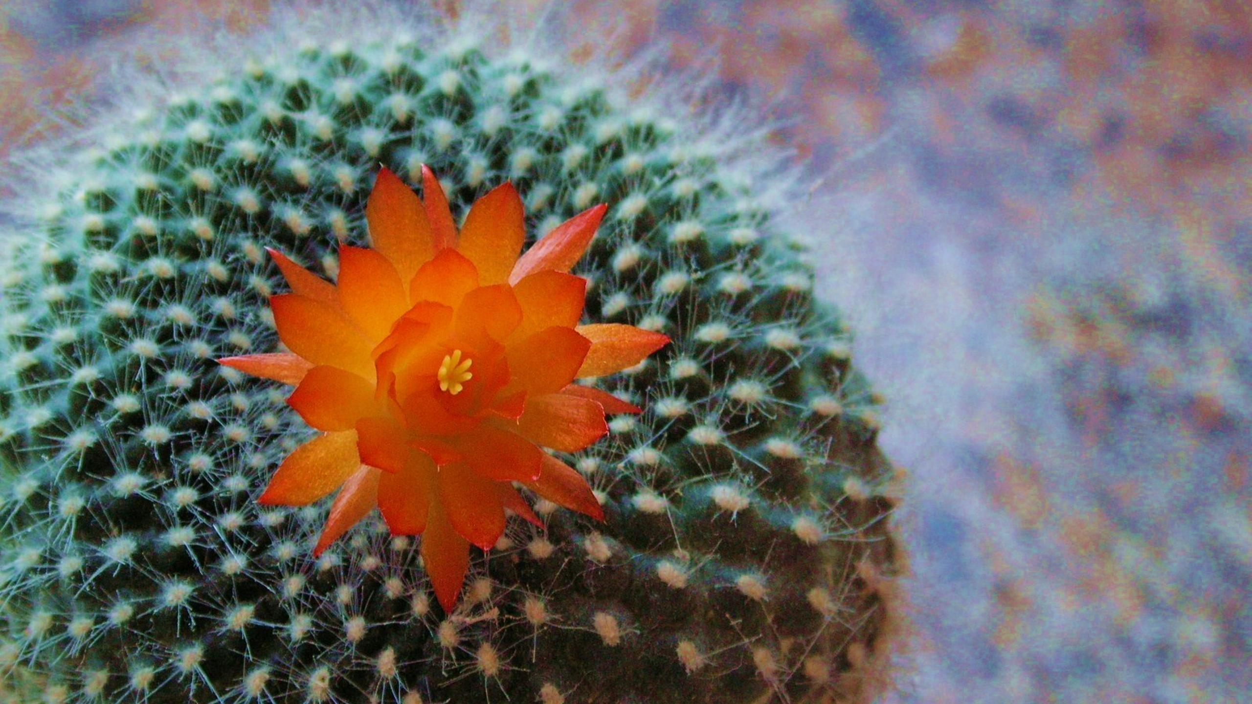 Macro Orange Cactus Flower Beautiful Plant From Desert Wallpaper