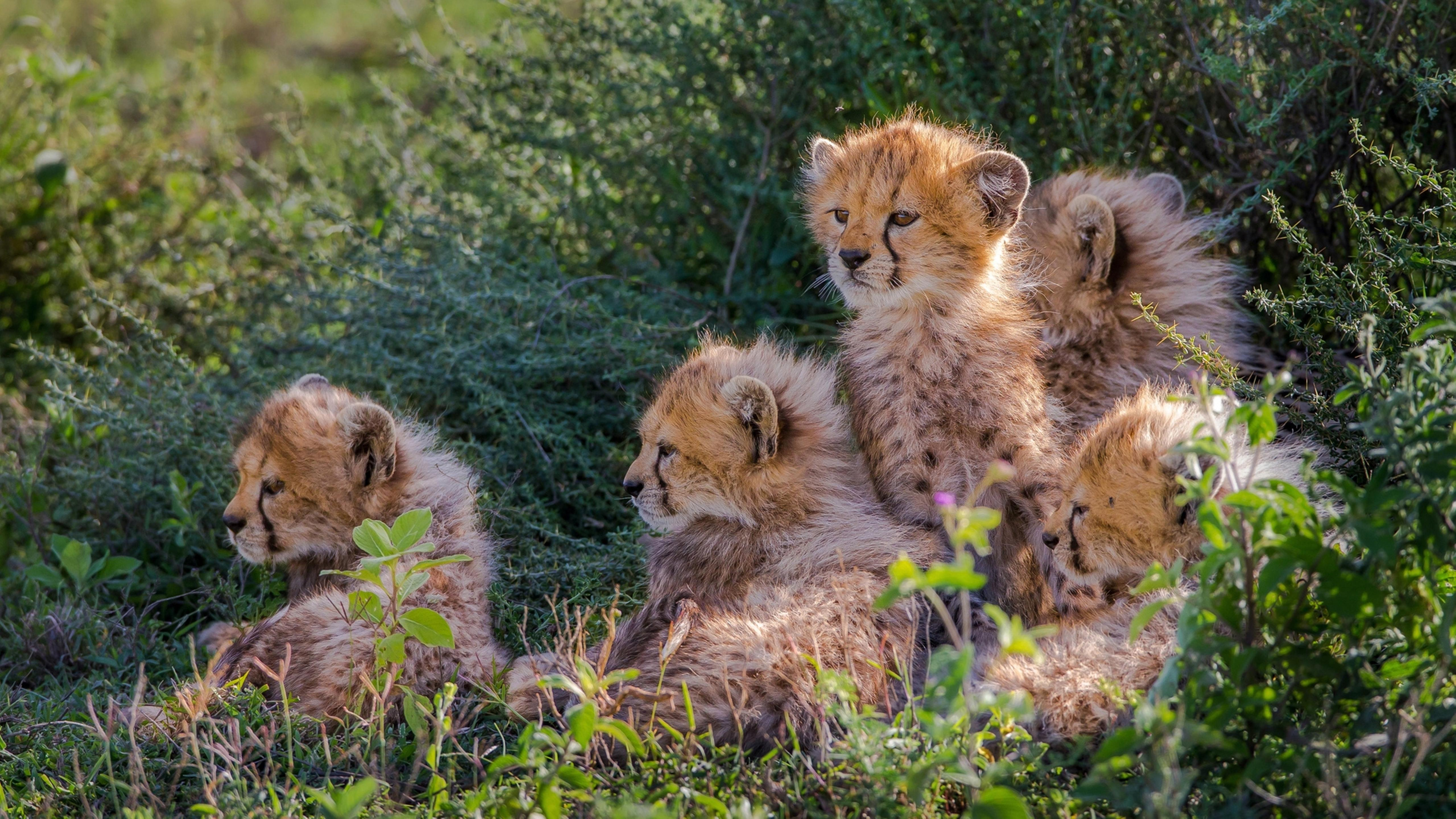 many sweet cheetahs cubs - wild animals wallpaper wallpaper download