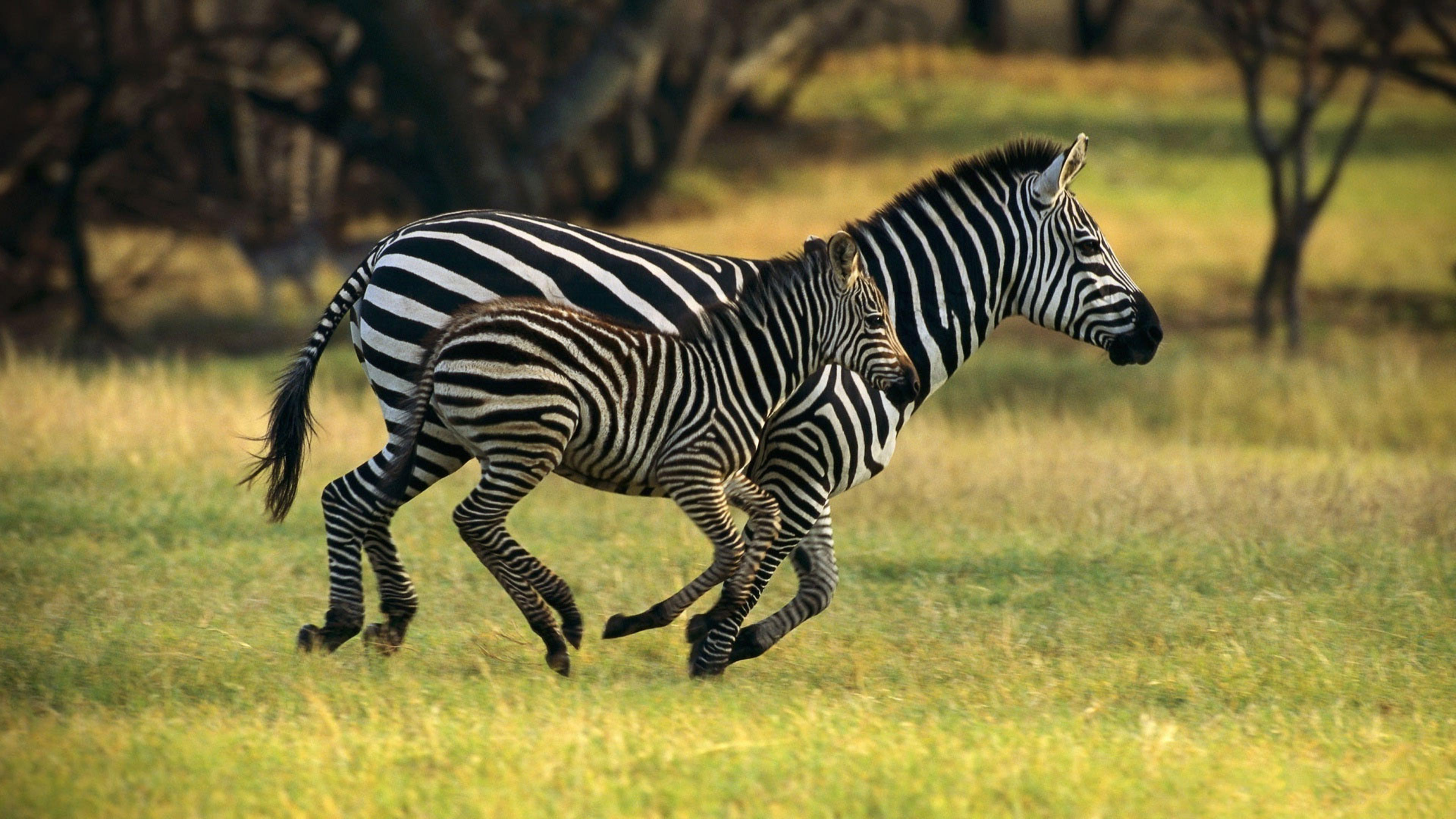 Mother And Child Running In The Jungle Zebra Animals Wallpaper Download 3840x2160