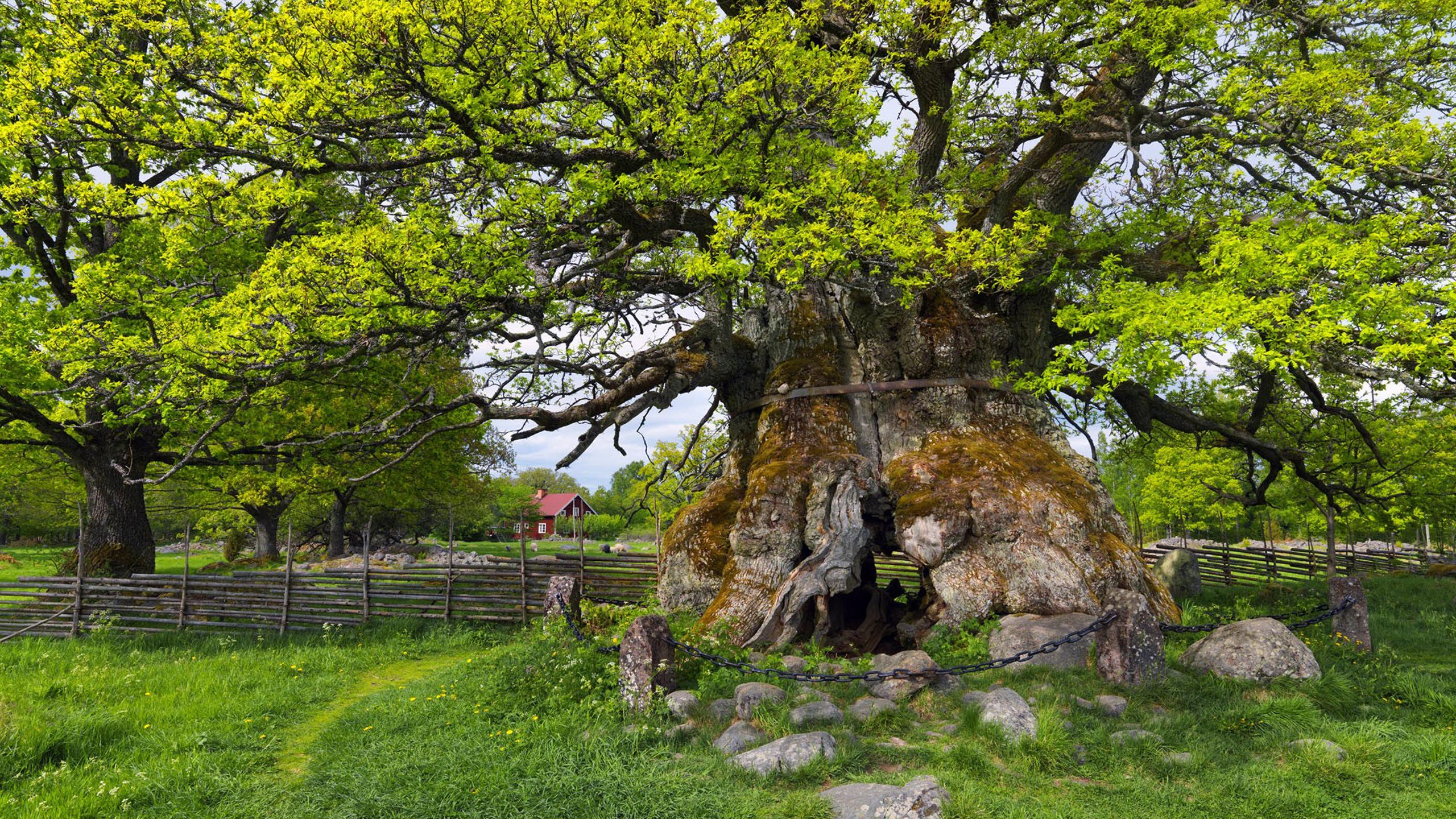 10375 Nature Tree From Sweden Wallpaper Download 2560x1440