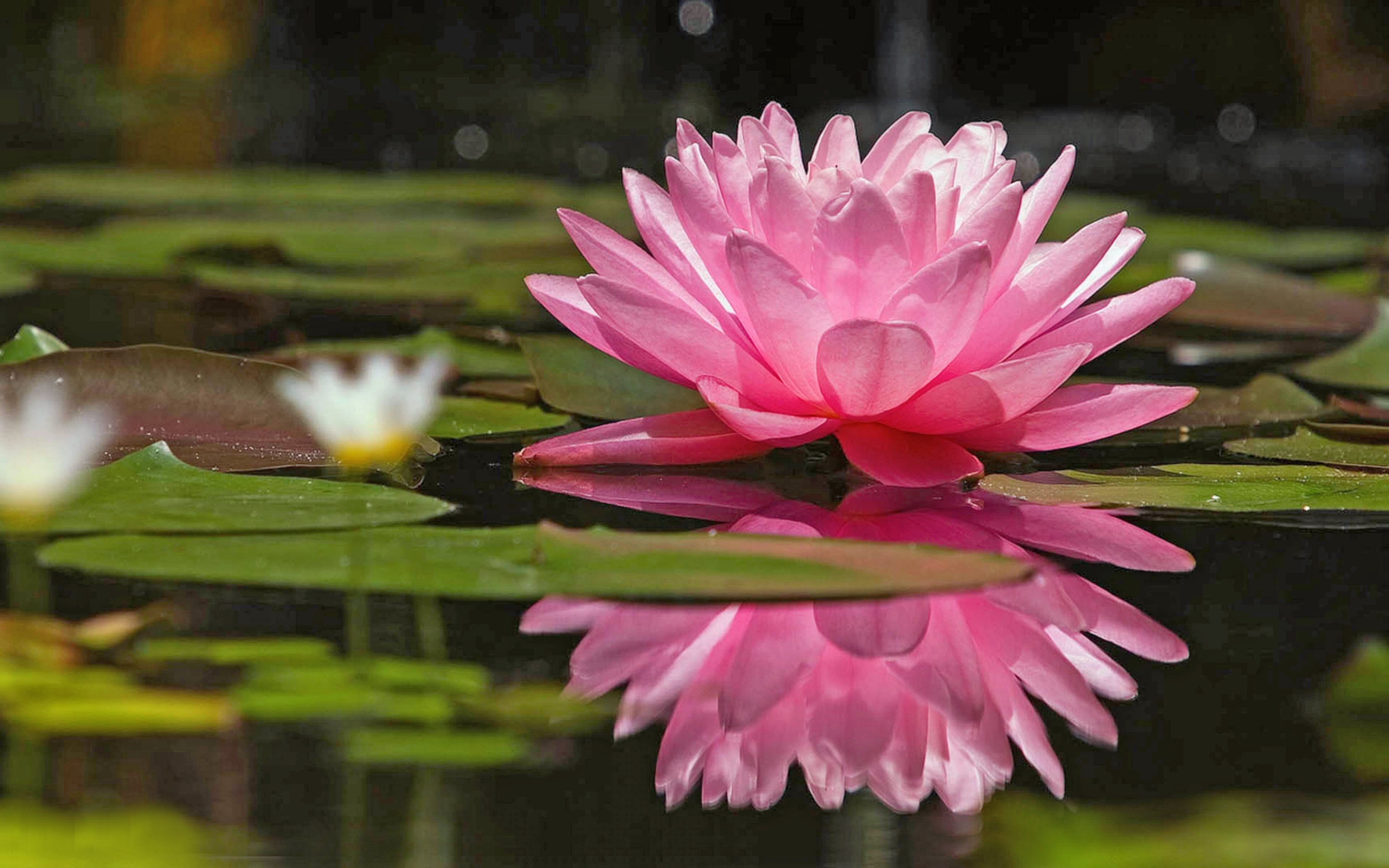 Pink lotus on the water - Water flower wallpaper
