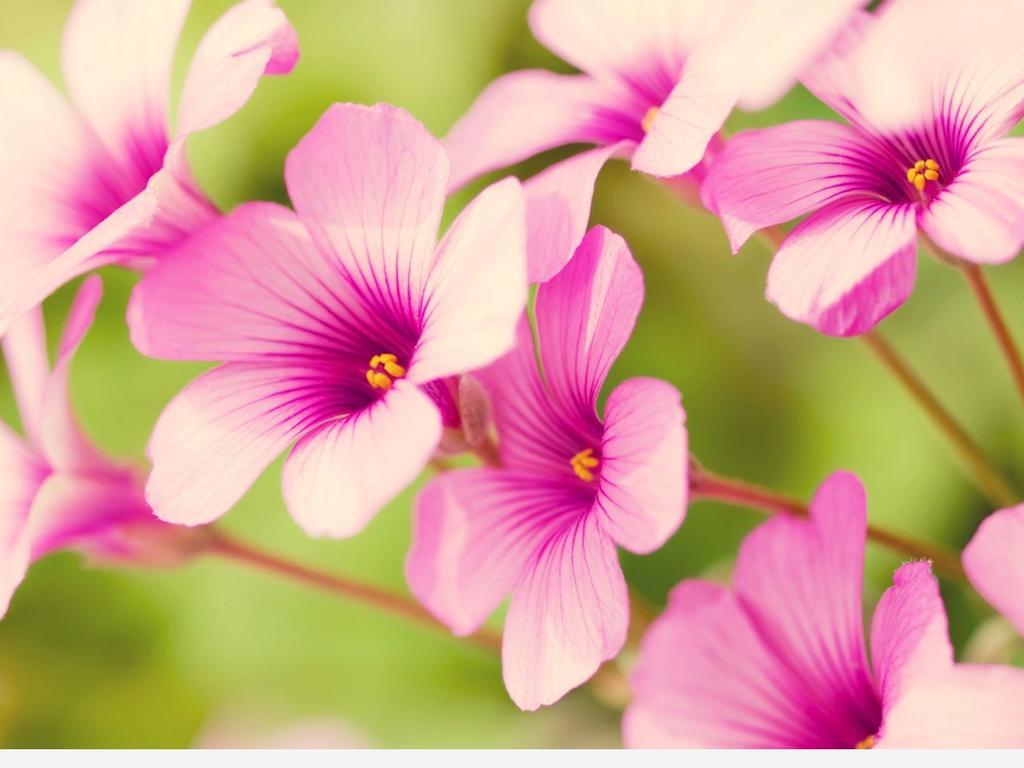 Pink spring flowers beautiful season wallpaper download 1024x768 download wallpaper 1024x768 pink spring flowers beautiful season mightylinksfo